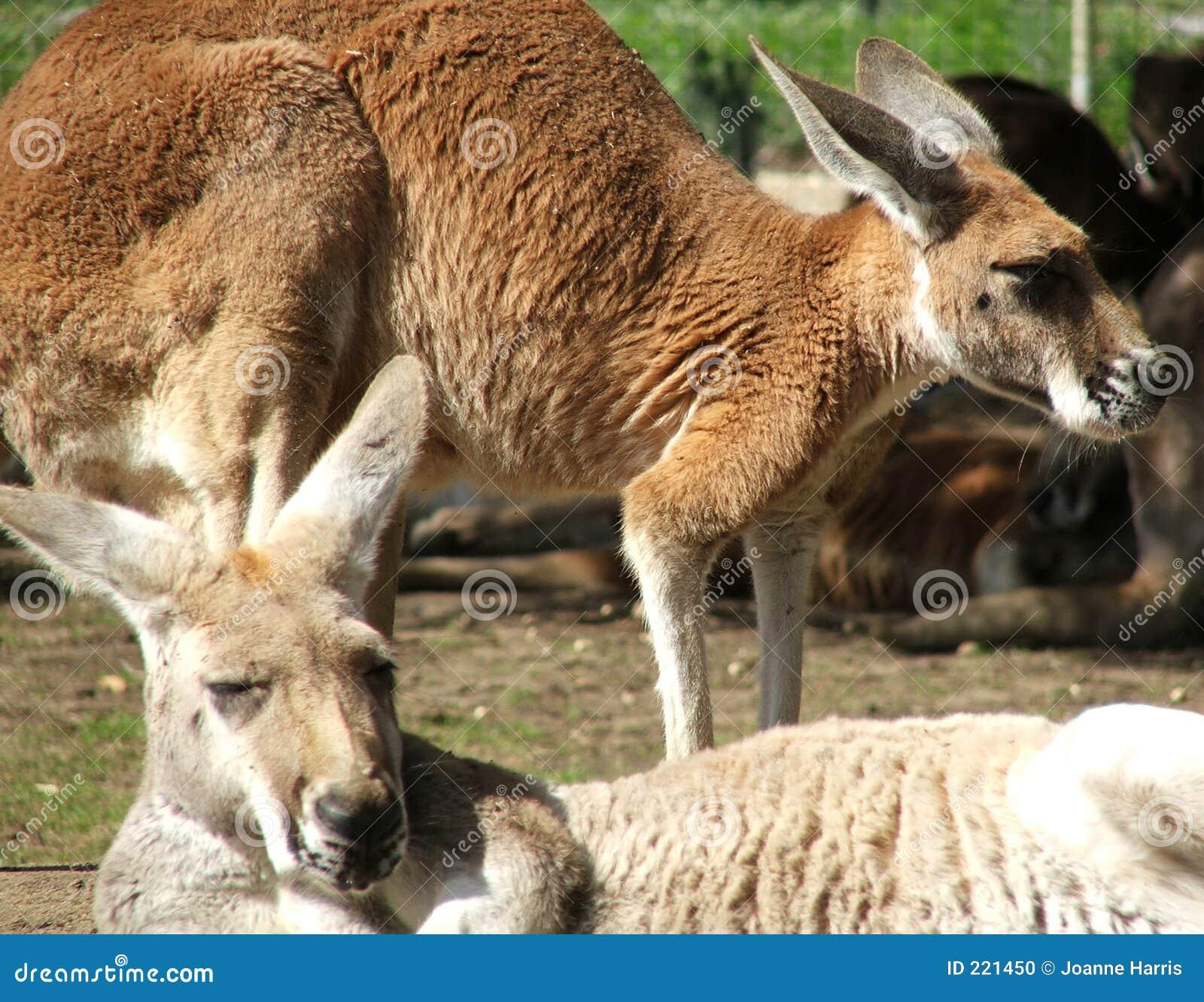 Animale - canguro