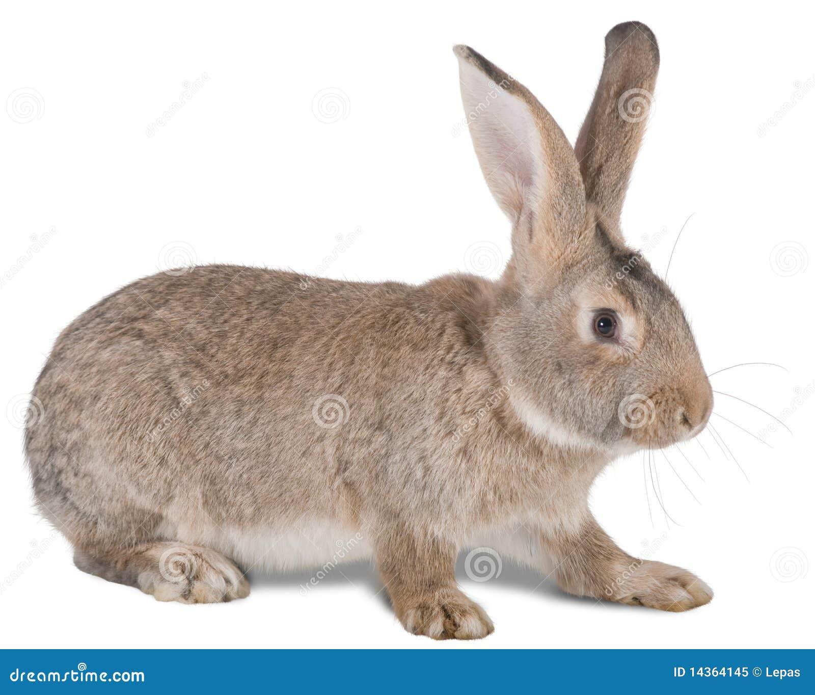 animale da allevamento coniglio fotografia stock libera da diritti immagine 14364145