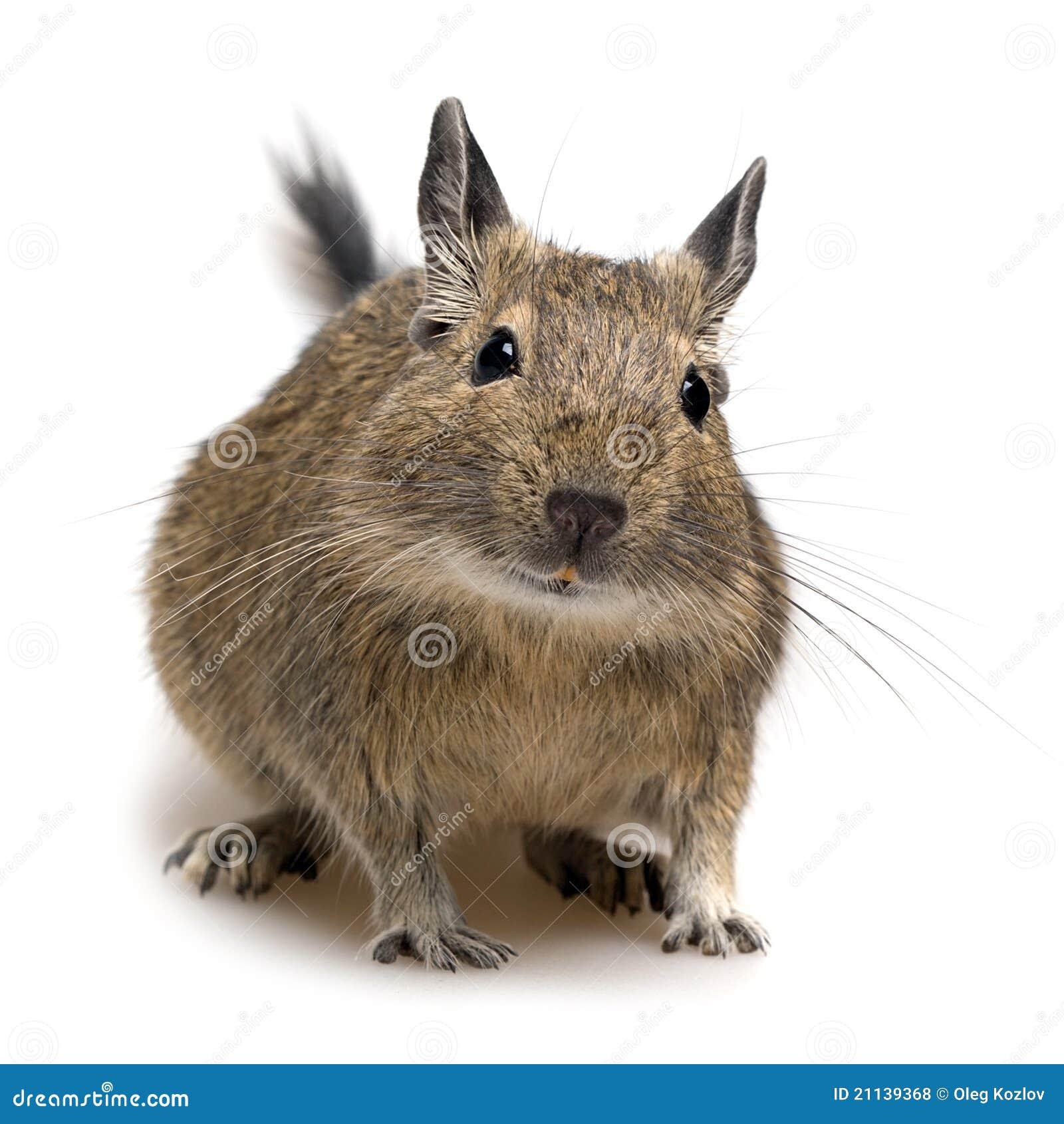 Animale domestico di degu fotografia stock immagine di for Piano di abbozzo domestico