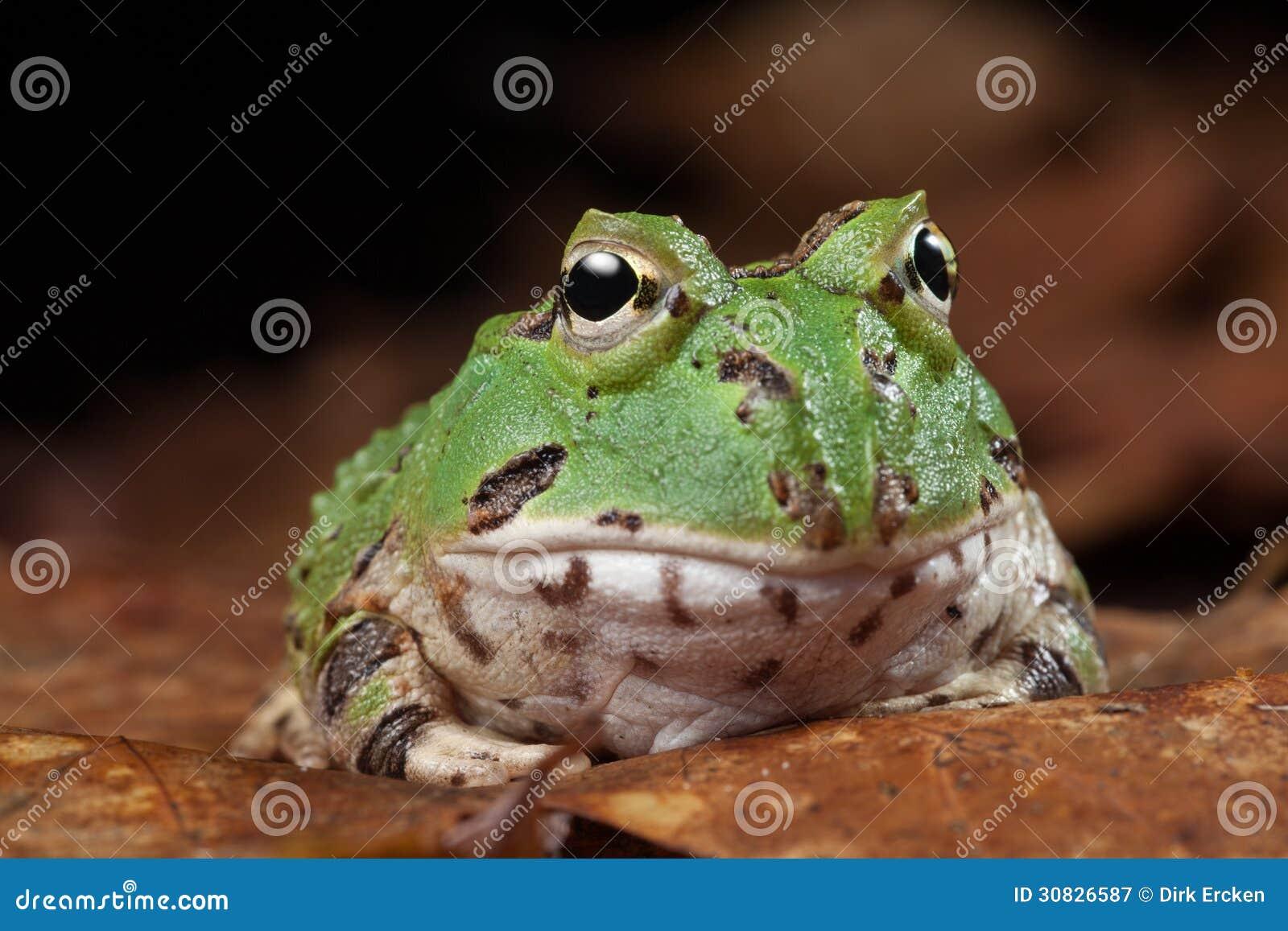 Animale domestico esotico della rana di Pacman