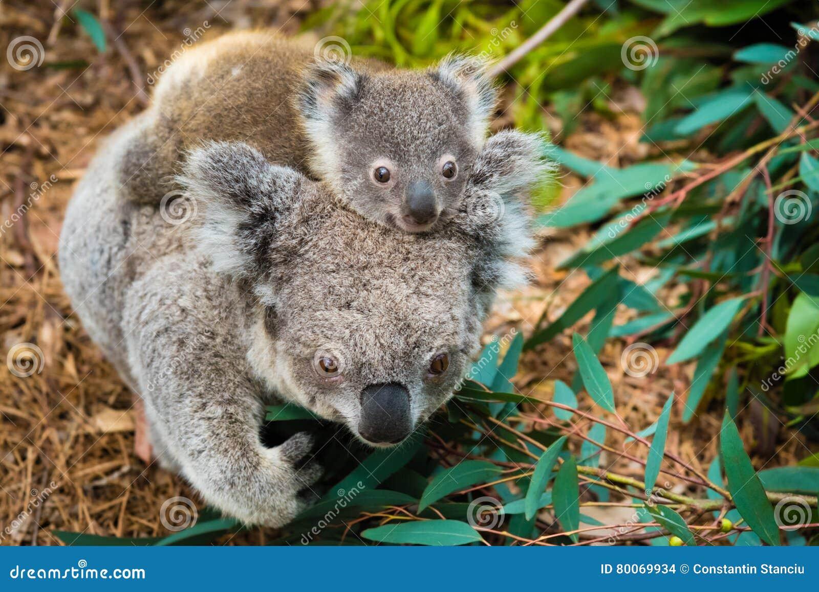 Animale indigeno australiano dell orso di koala con il bambino