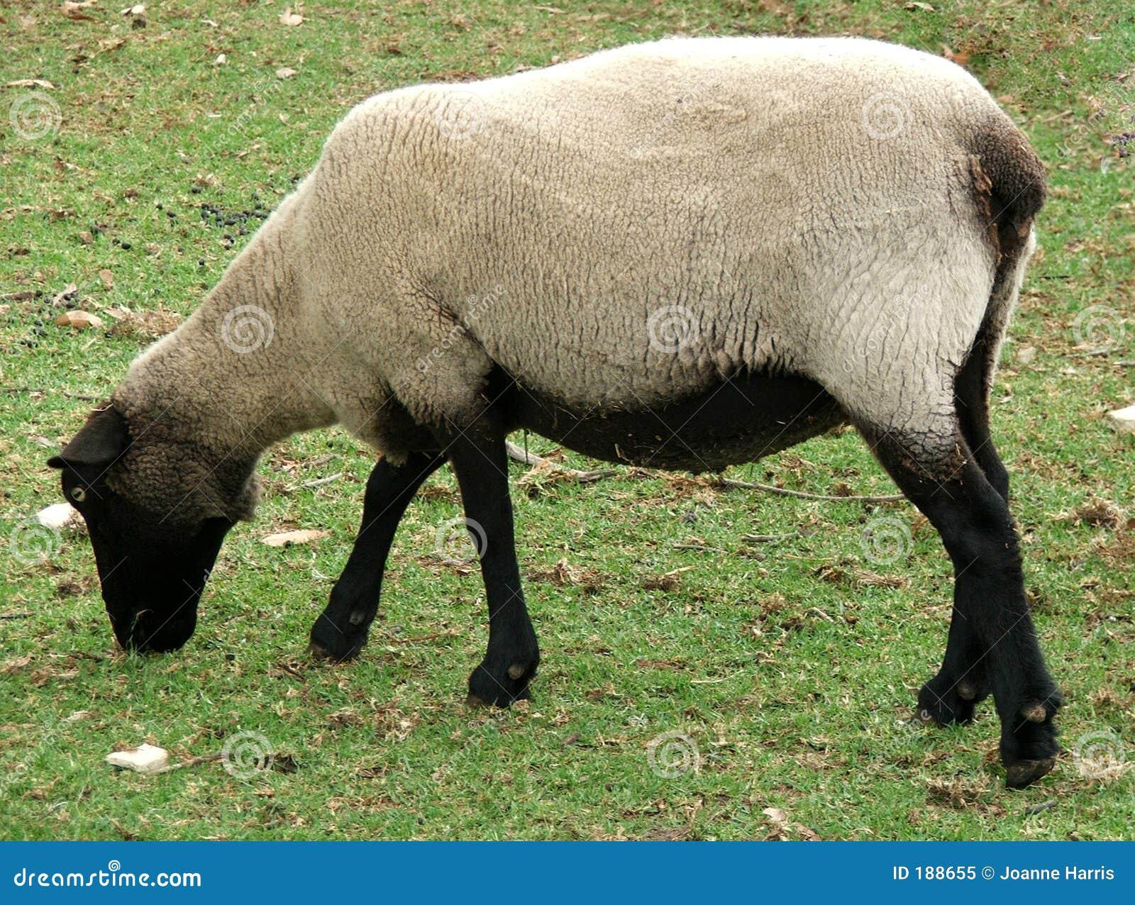 Animale - pecora