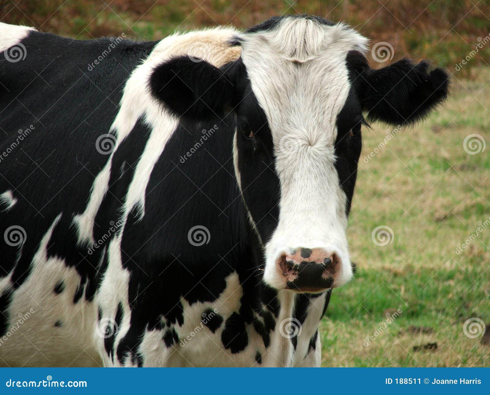 Animale - sguardo della mucca voi