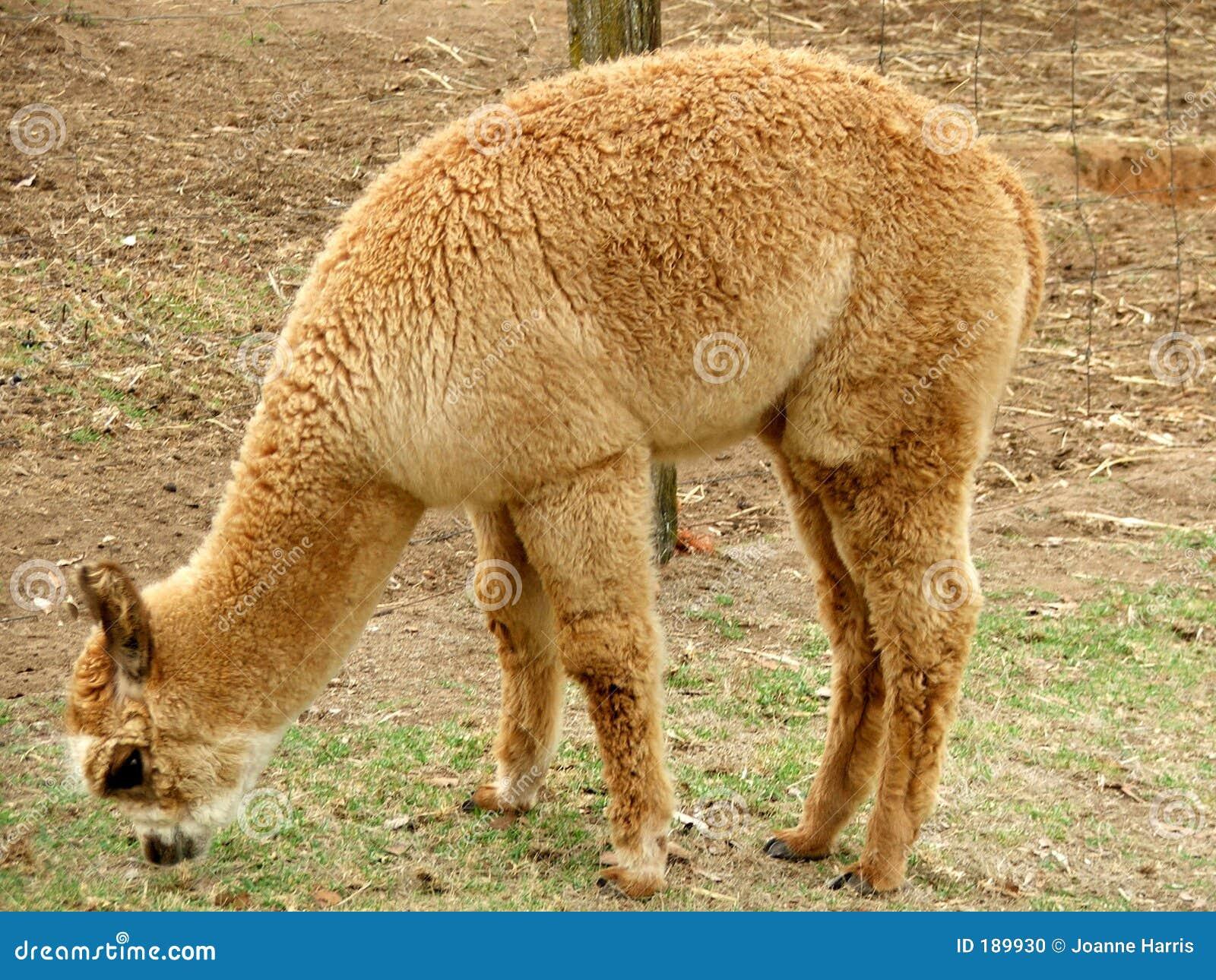 Animales - alpaca