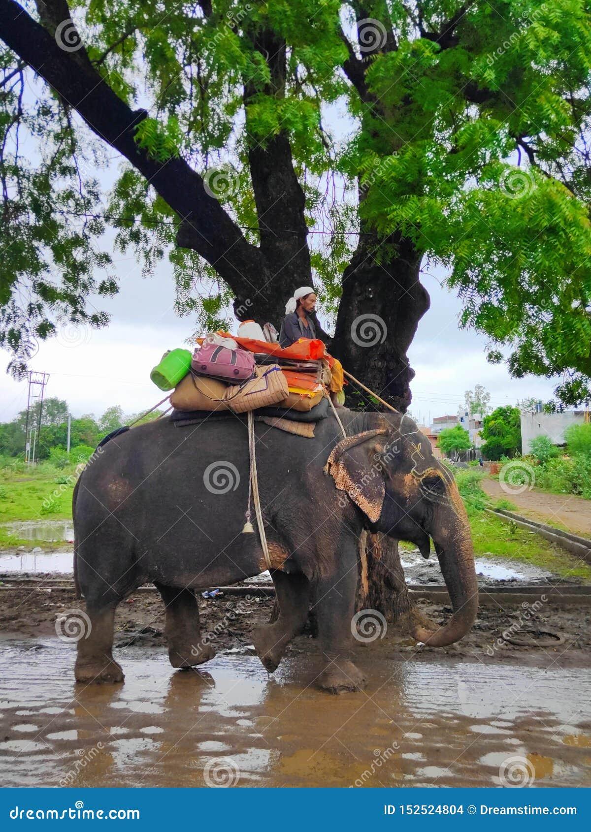 Animales del elefante del animal doméstico en la India
