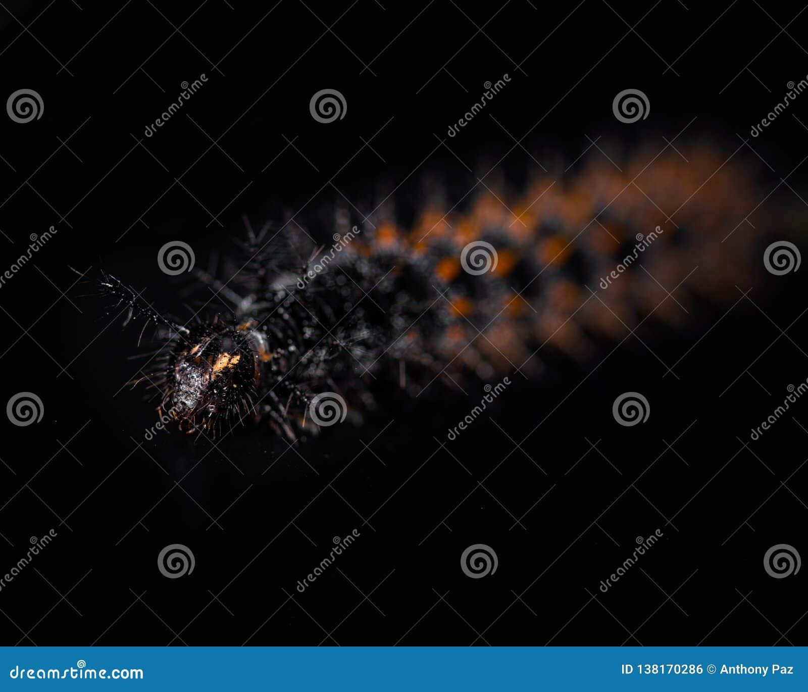 gusano negro amarillo y rojo