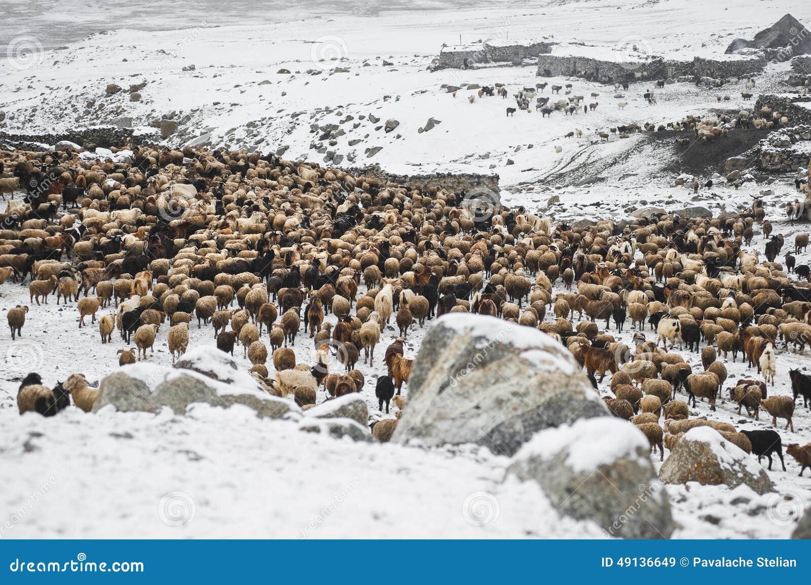 Animali che ritornano dal pascolo nelle aree di alte montagne di Karakoram