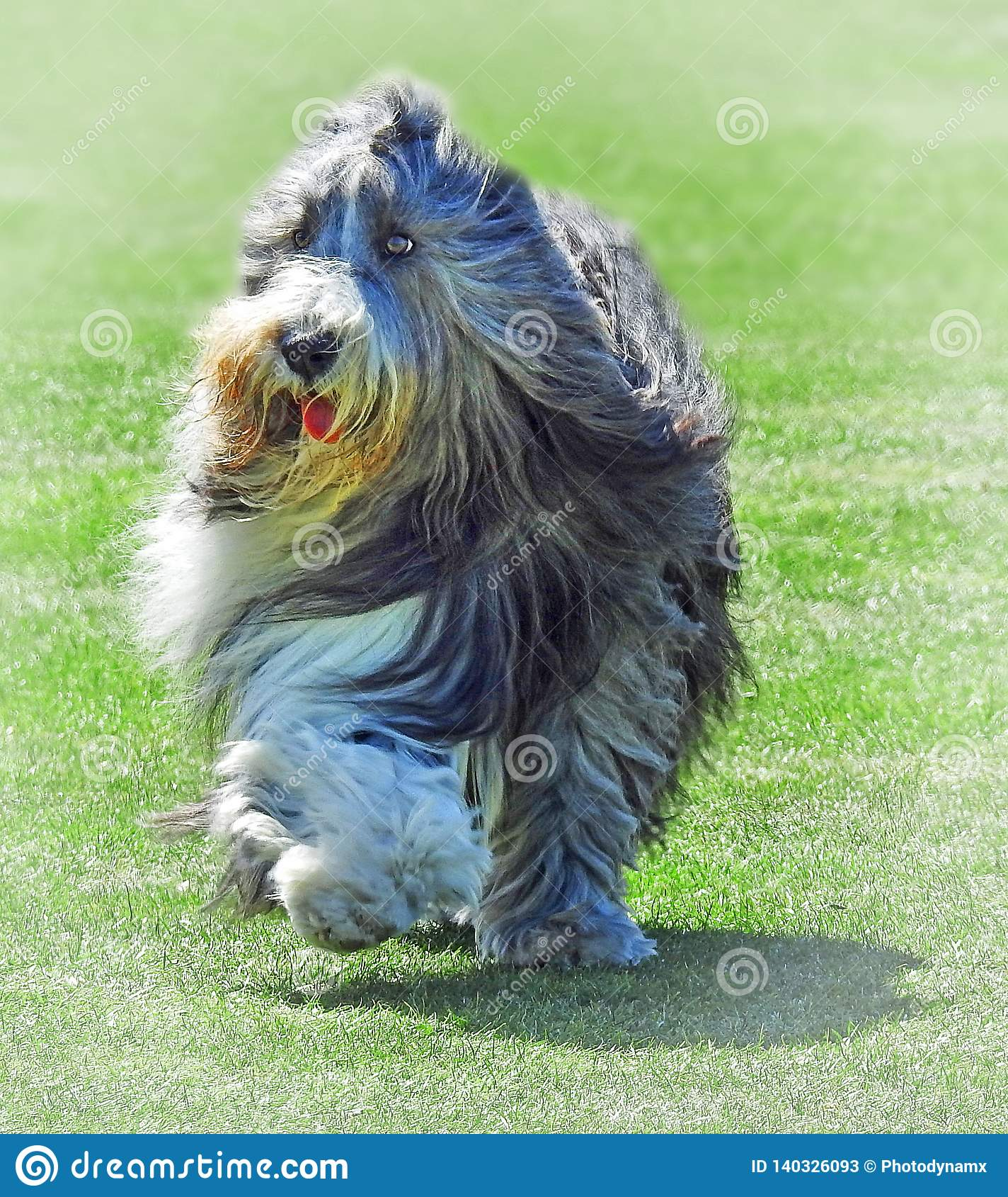 Animali domestici inglesi di addestramento di cani di prove di cane pastore