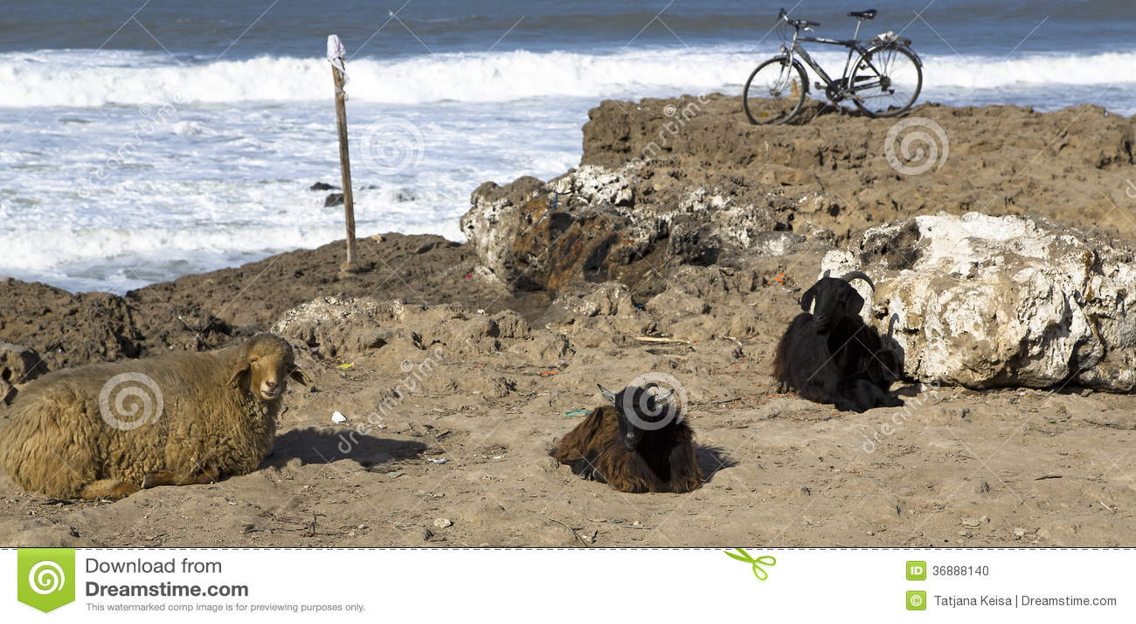 Download Animali Sulla Banca Rocciosa Dell'Oceano Atlantico Fotografia Stock - Immagine di africa, morocco: 36888140
