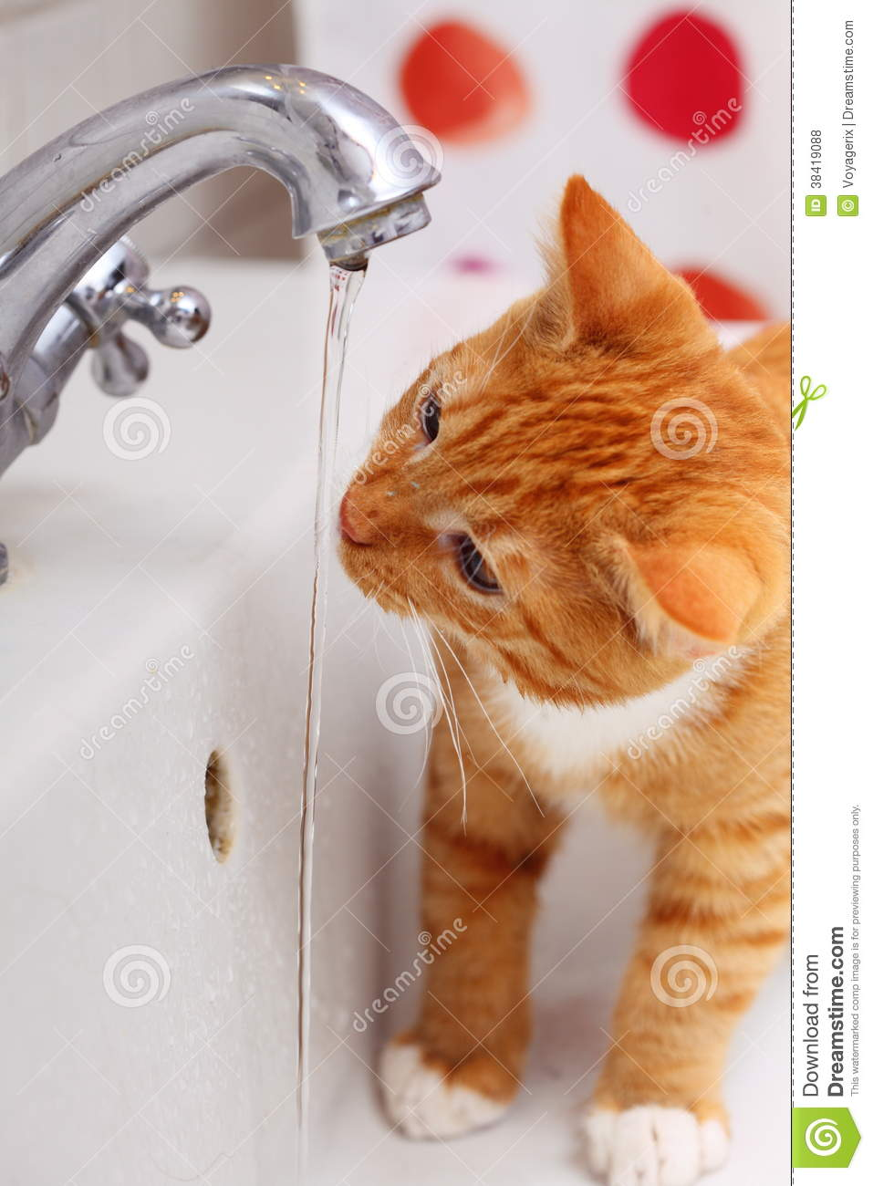 Animals At Home Red Cat Pet Kitty Drinking Water In Bathroom Royalty ...