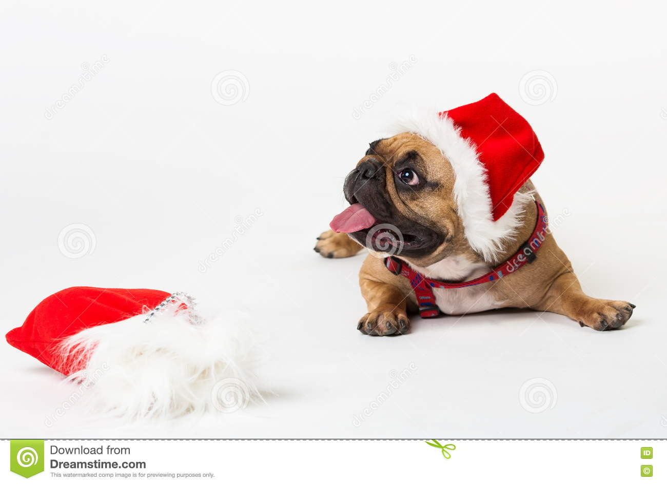 Animals. One Beige Dog French Bulldog White Isolated, Christmas ...