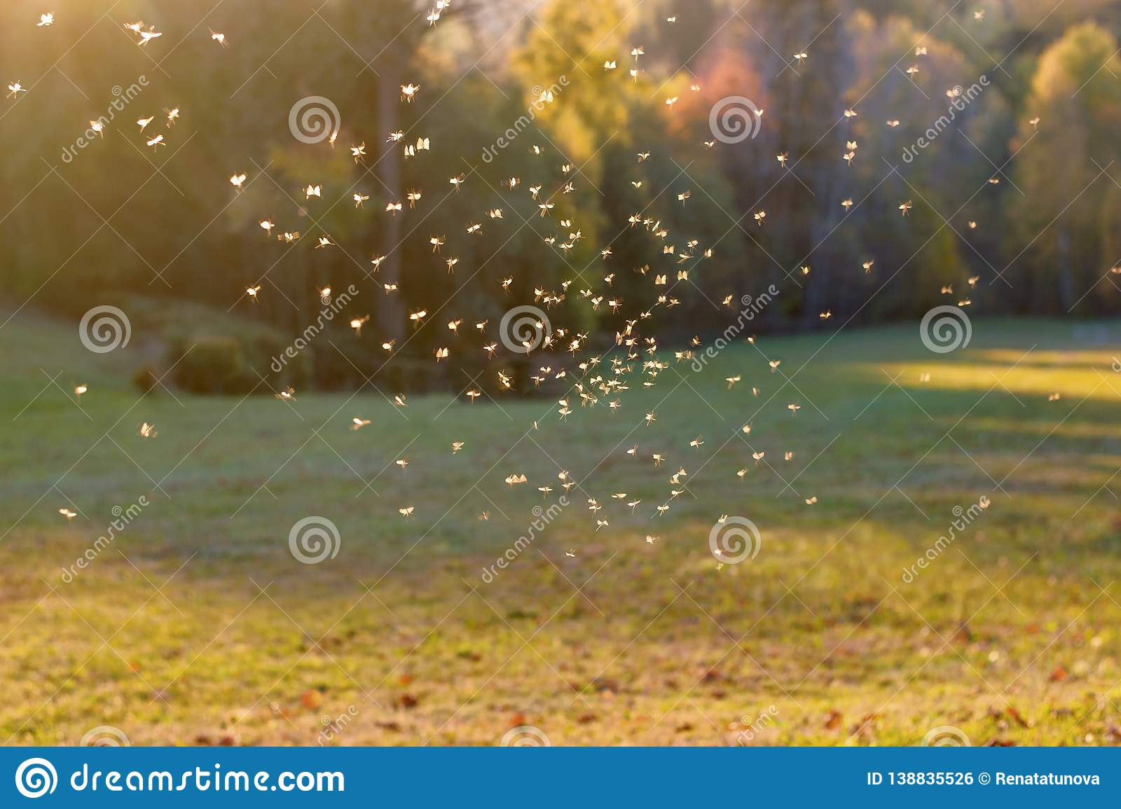 Mosquitos swarm flying in sunset light