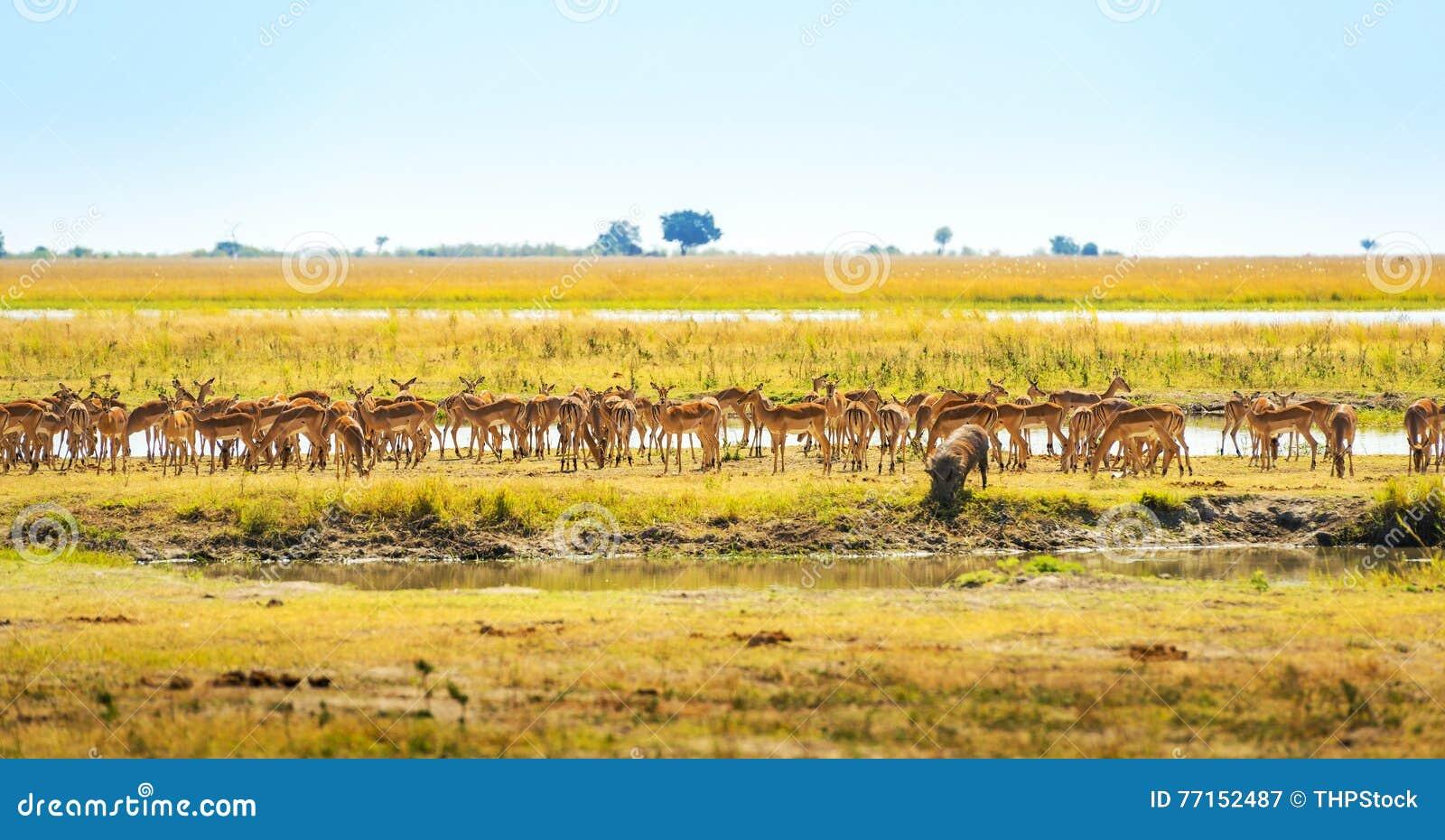 Animaux à l abreuvoir en Afrique