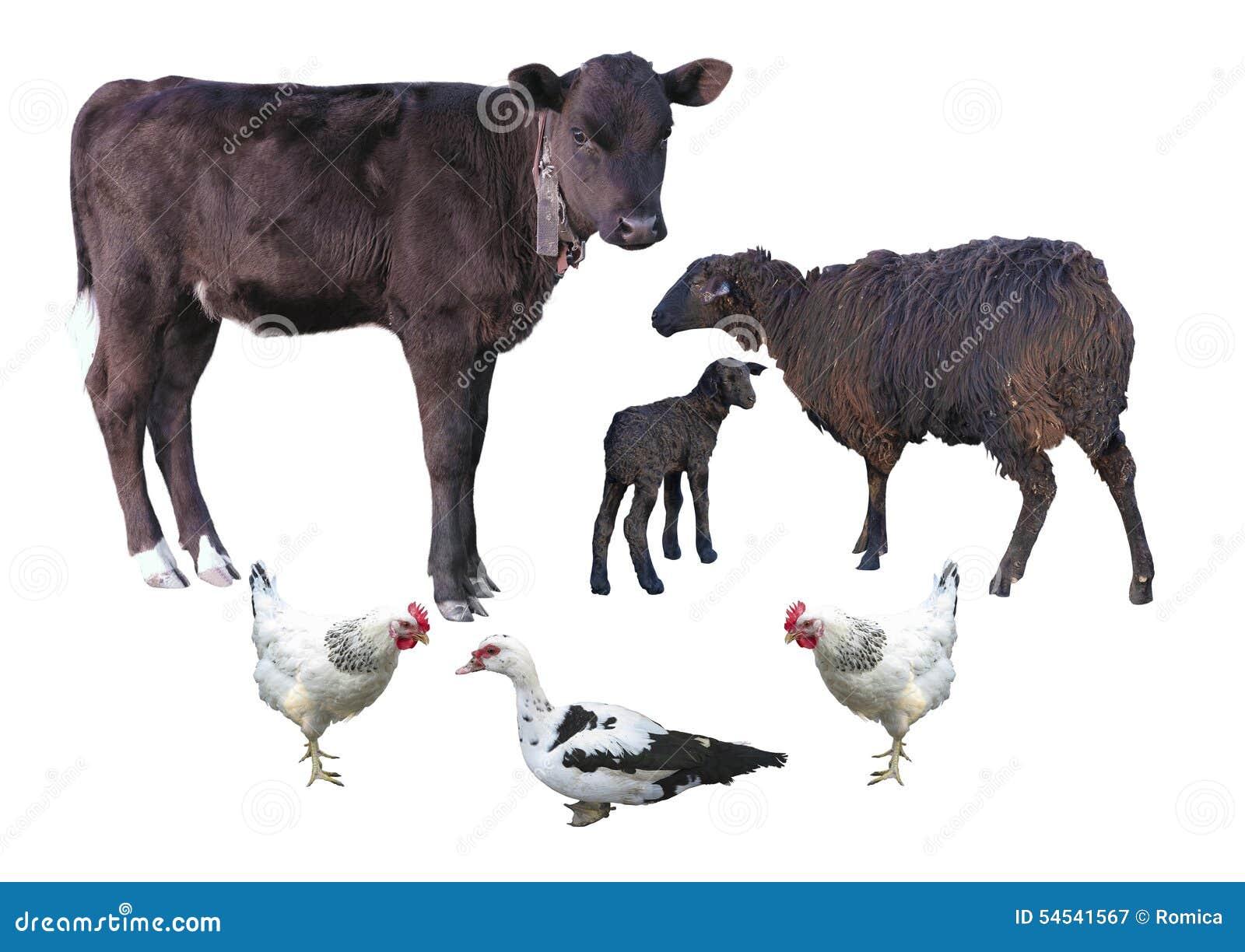Animaux de ferme d isolement au-dessus du blanc - veau, mouton, agneau, poulet, d