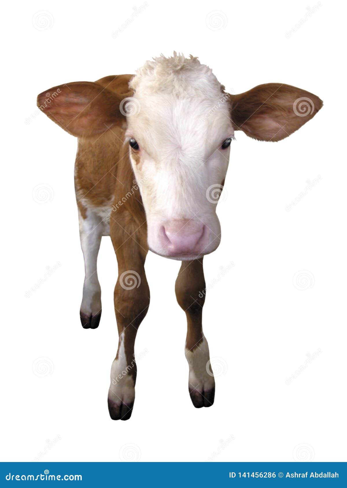 Animaux de ferme - vache à veau d isolement sur le fond blanc