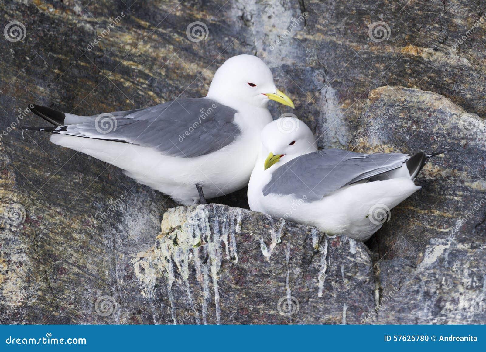 Aninhamento Preto-equipado com pernas das gaivotas (tridactyla do Rissa)