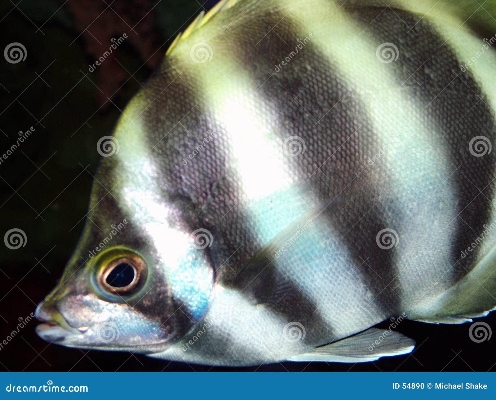Anioł ryb