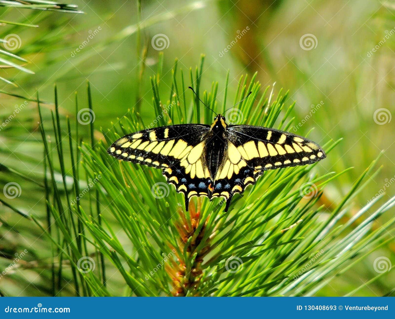 Anise Swallowtail Butterfly, Shasta-Dreiheits-staatlicher Wald, Nord-Kalifornien