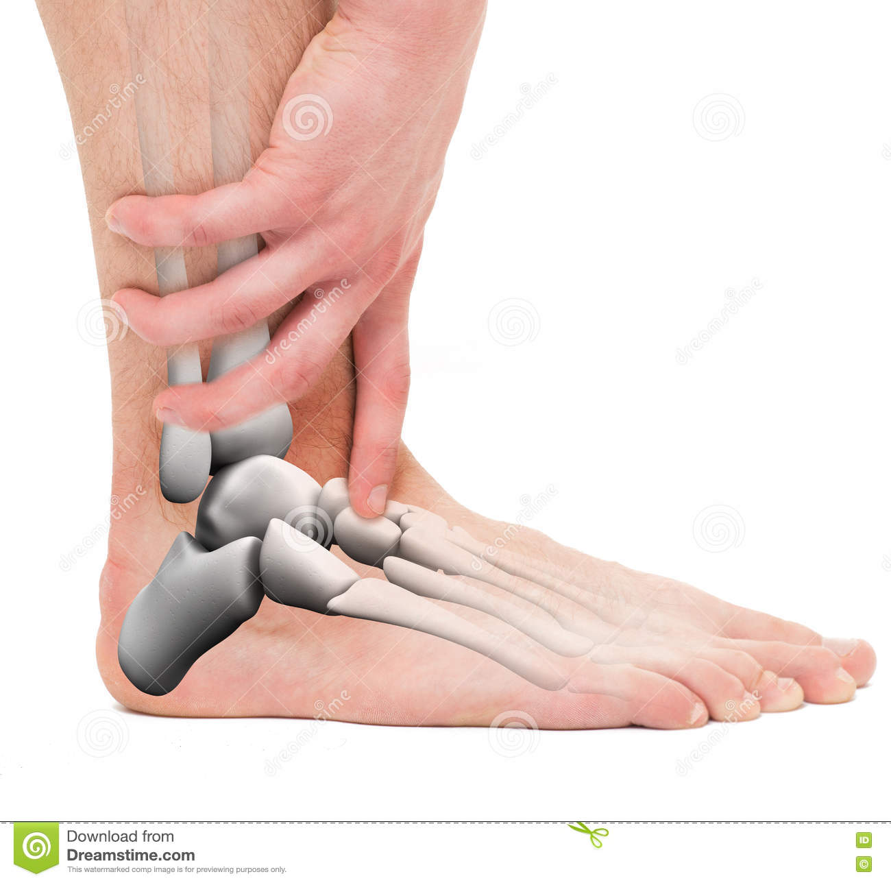 Ankle Bones Anatomy Male On White Stock Photo Image Of Muscle