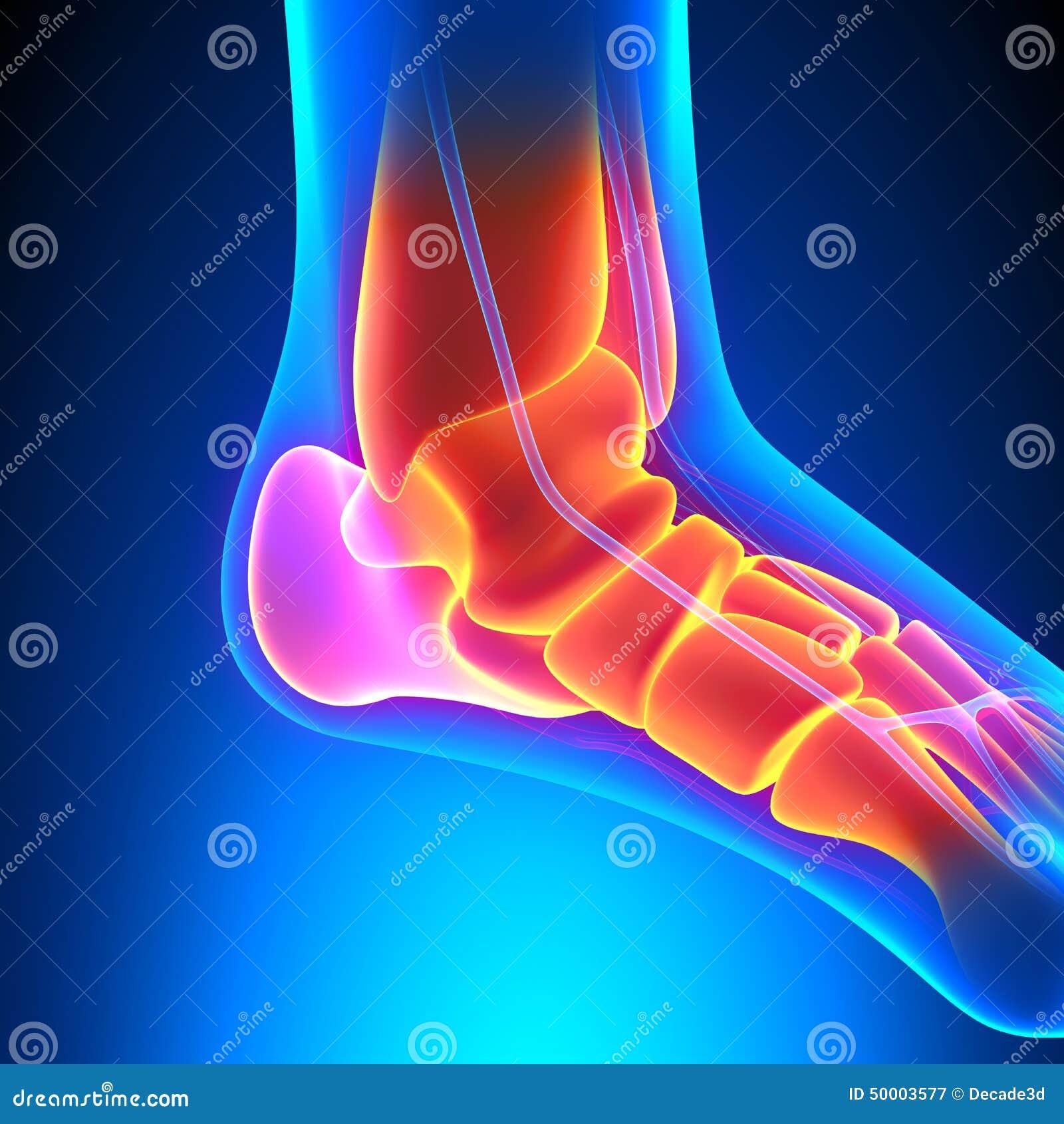 Ankle Bones Anatomy - Pain Concept Stock Illustration - Illustration ...