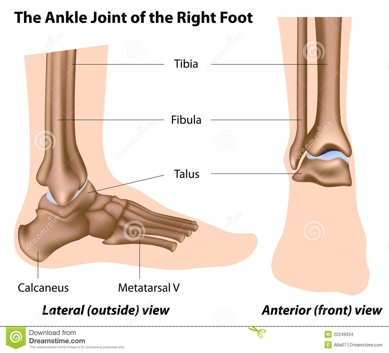 The Ankle Joint Stock Vector Illustration Of Front Anterior 22249334