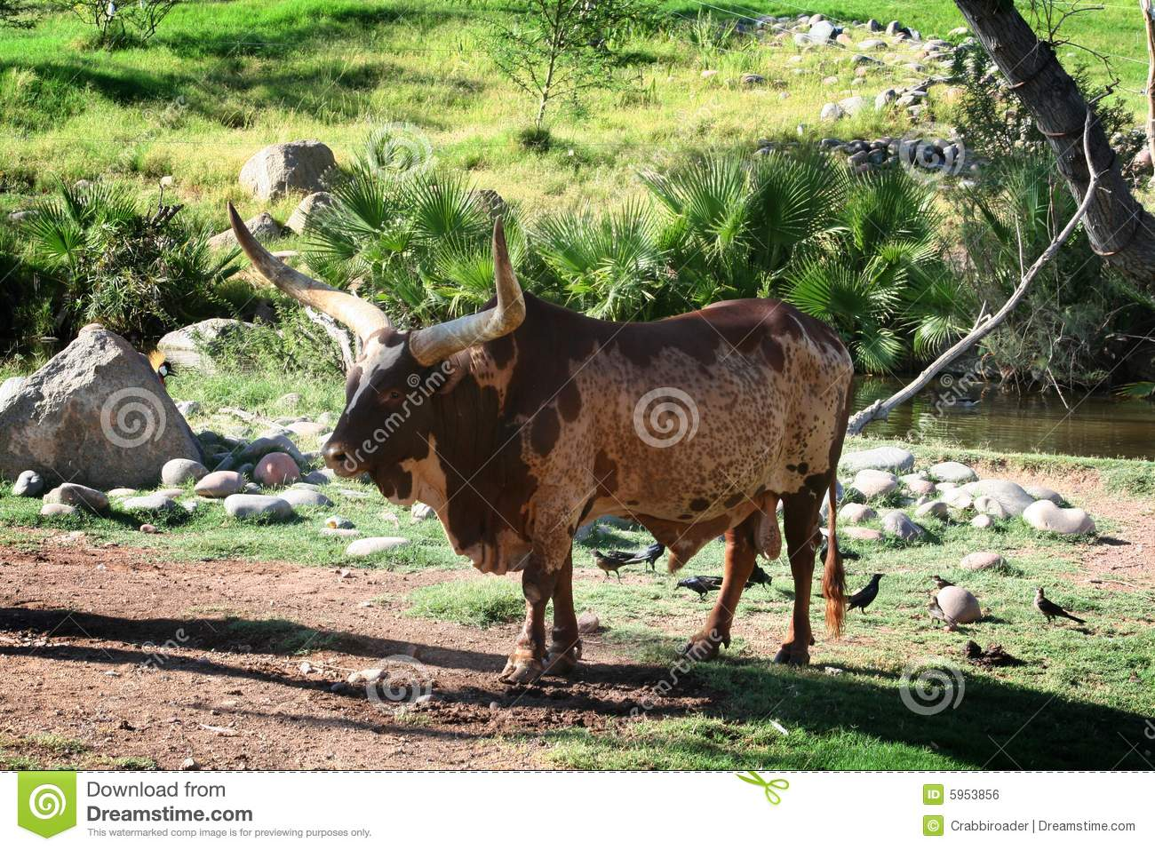 Local knowledge on ankole cattle in