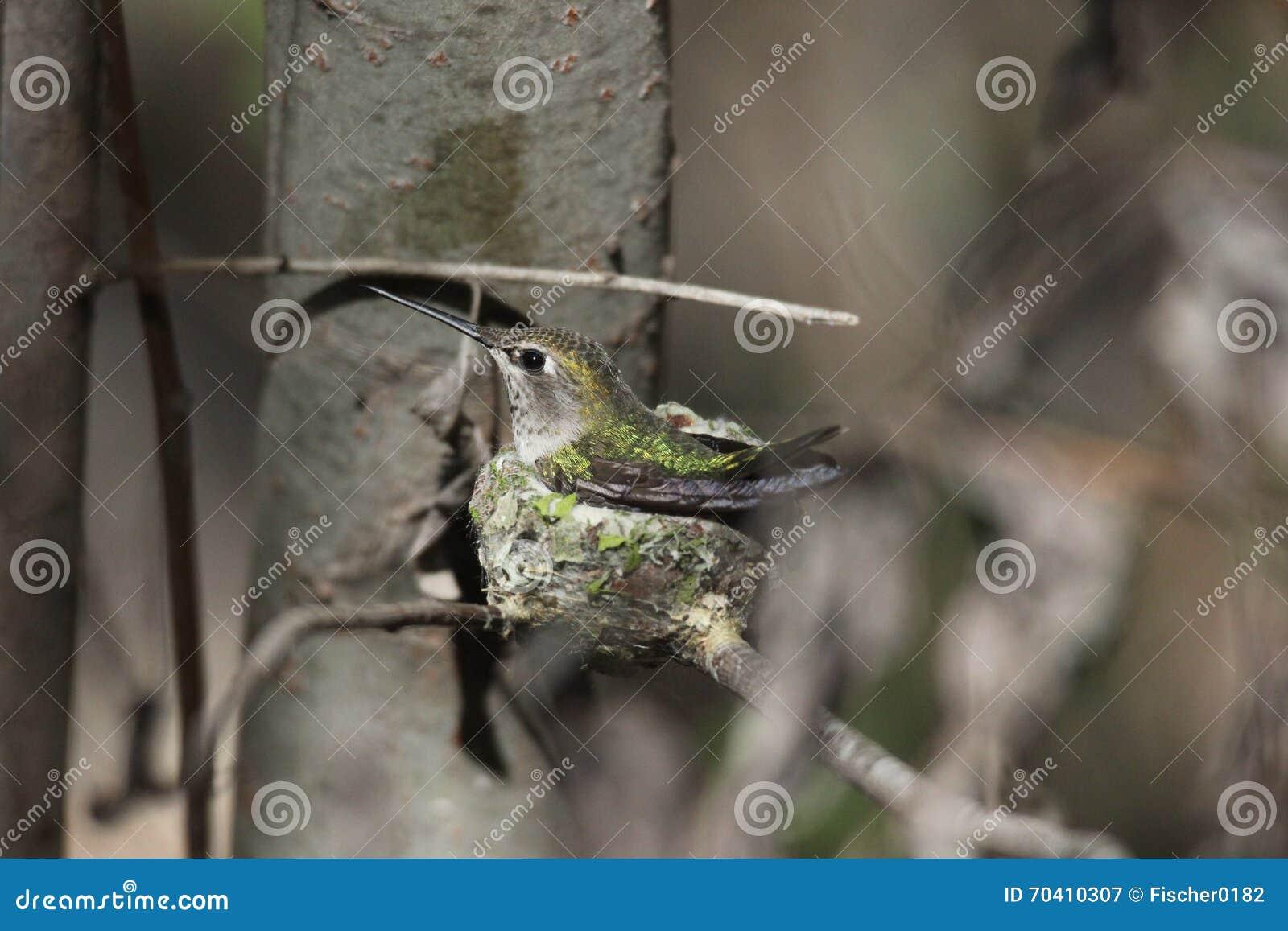 Anna Kolibrie (Calypte anna)