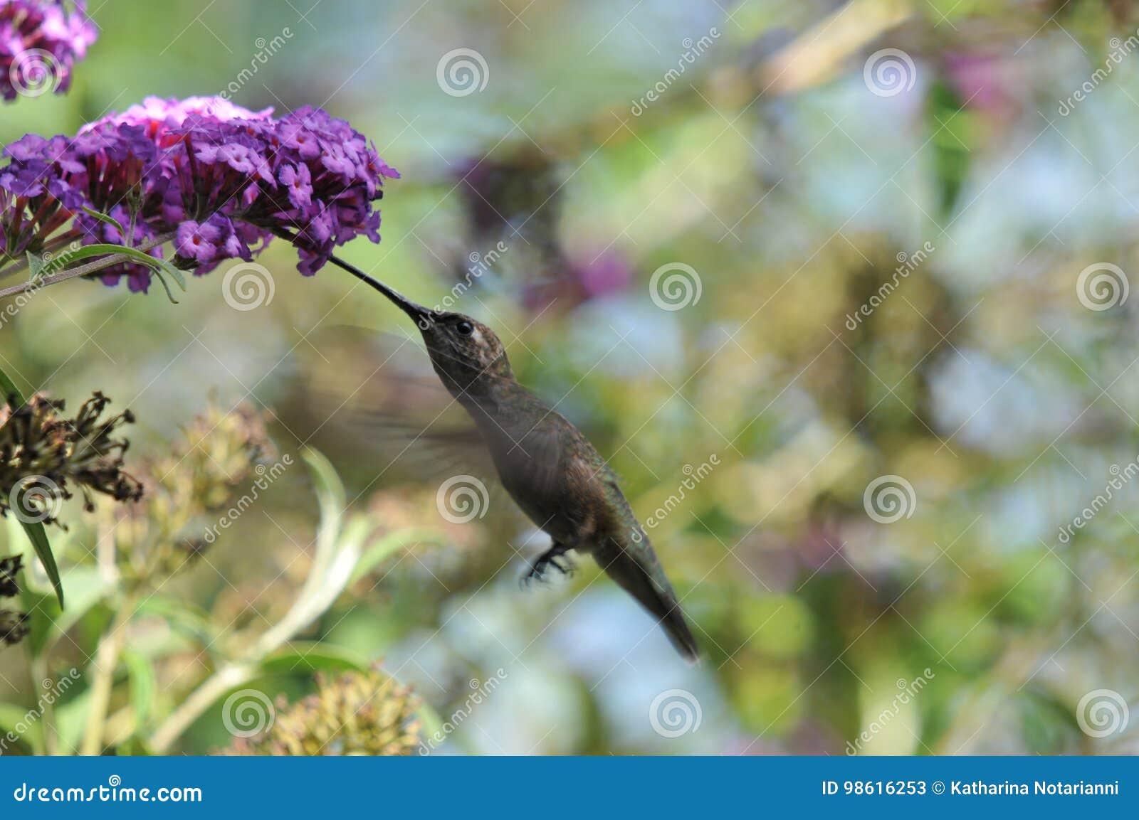 Anna ` s Hummingbird Calypte Anna latanie podczas gdy Pijący nektar od Motyliego Bush