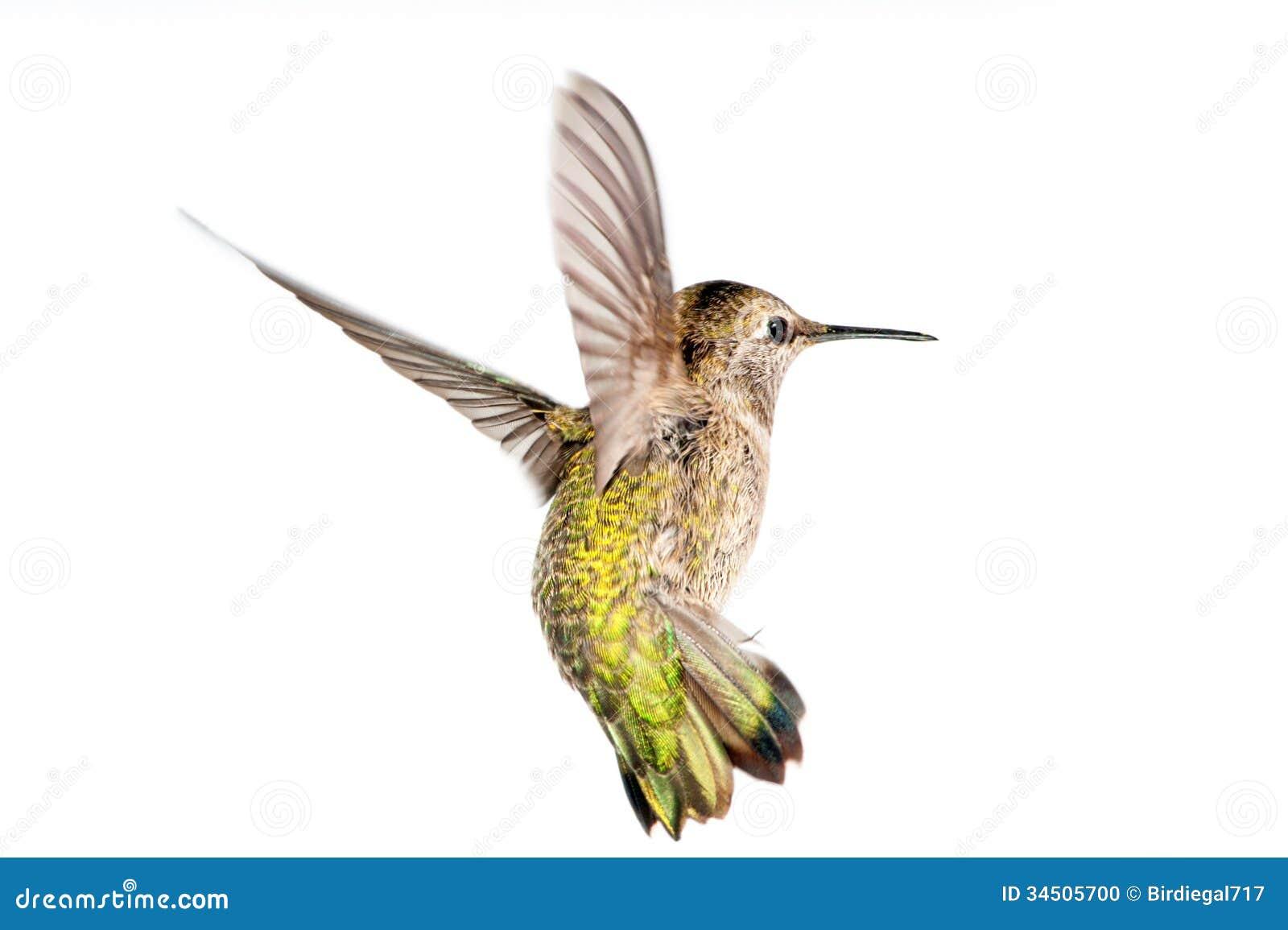 Annas Hummingbird In Flight Stock Photo - Image: 34505700