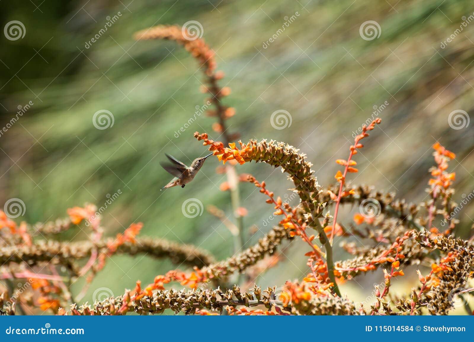 Anna ` s hummingbird karmienie na aloesie Vera kwitnie