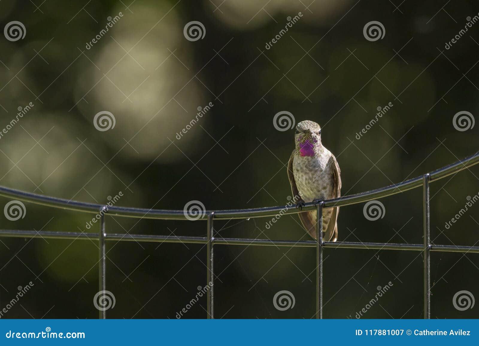 Anna ` s Kolibrie op een Draadomheining