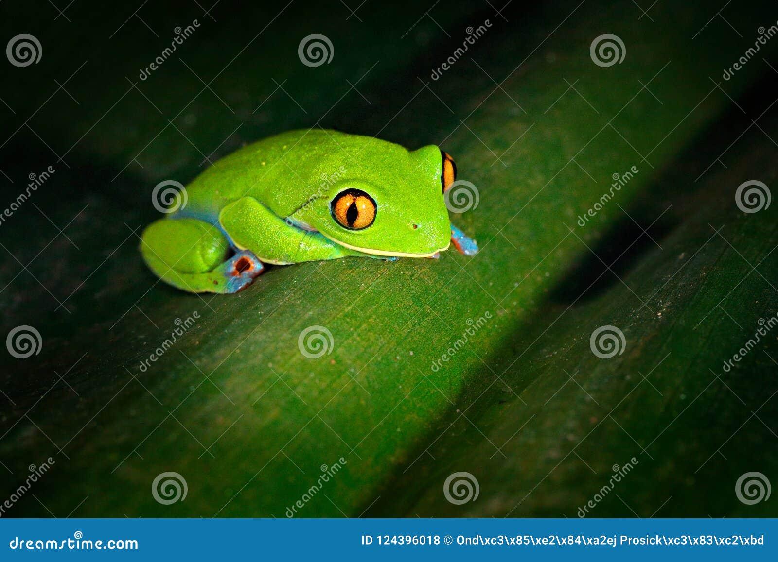 Annae de Agalychnis, rana De oro-observada en licencia, Costa Rica de la rana arbórea, verde y azul Escena de la fauna de la selv