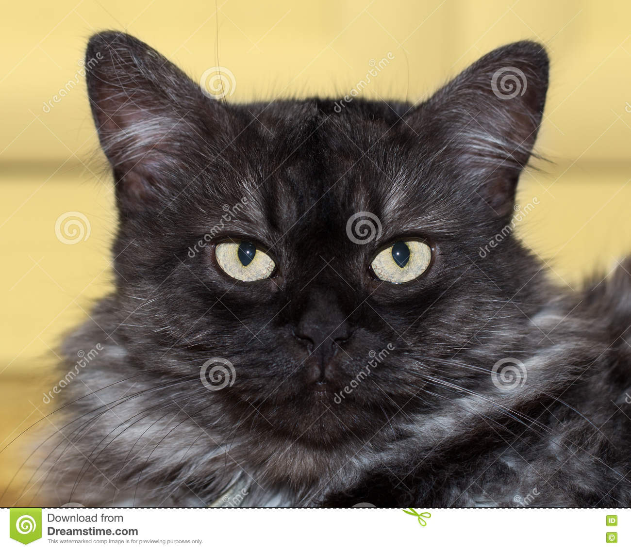 Annoyed Fluffy Cat Stock Photo Image Of Striped Head 76587762