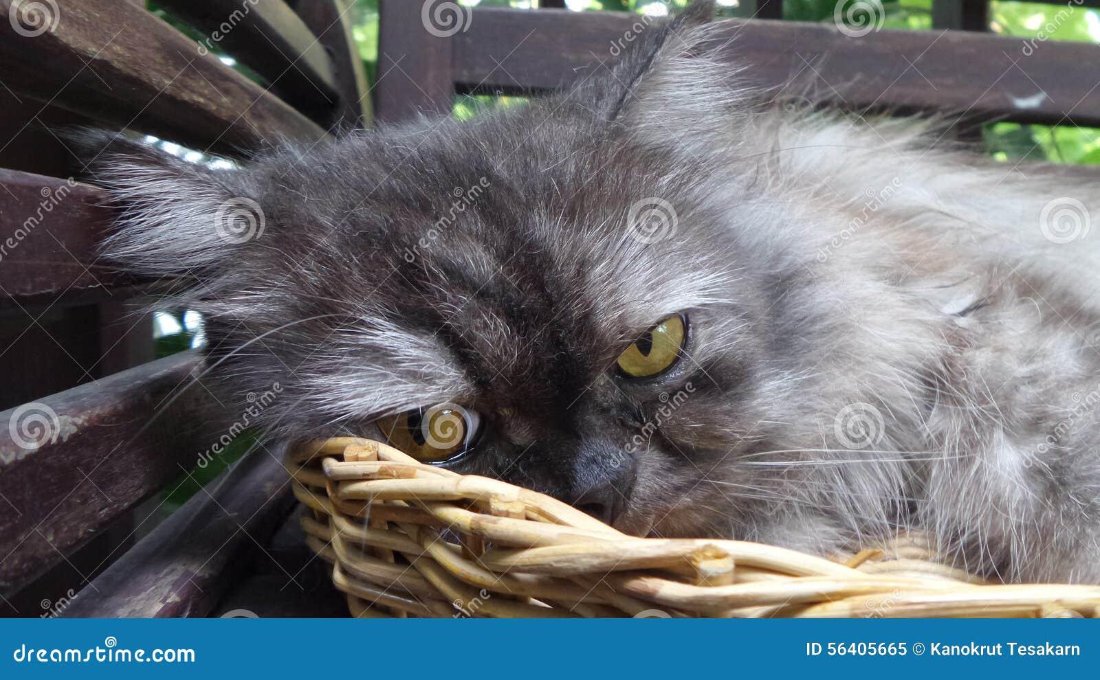 Annoyed fussy sleepy Persian cat in bamboo basket