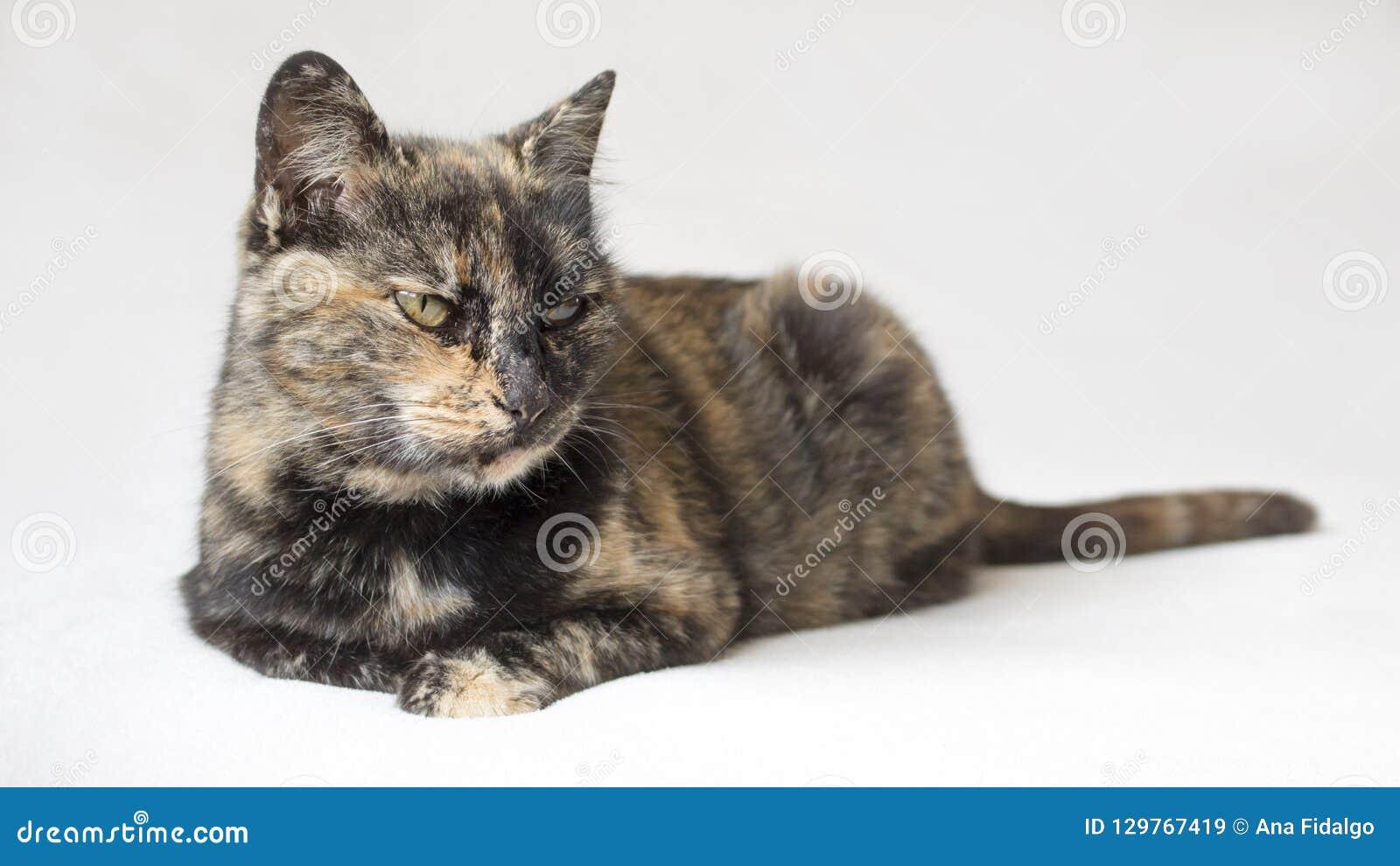 Annoyed que olha olhar fixamente do gato da concha de tartaruga desagradado em algo fora da opinião da câmera Gato isolado no fun