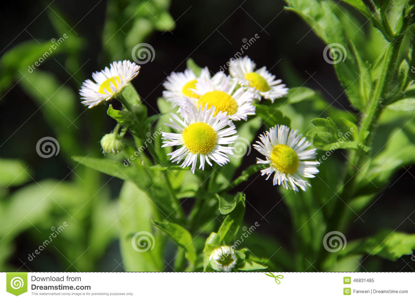 annual fleabane herb stock photo