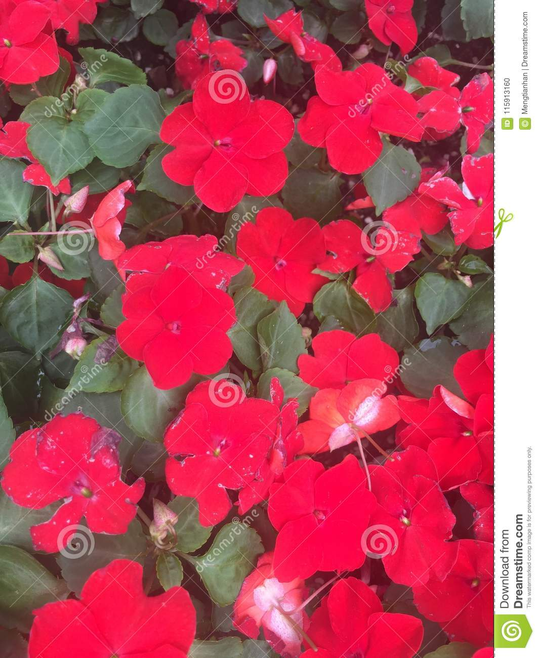 Garden Balsam Impatiens Balsamina L Stock Photo Image Of Colorful