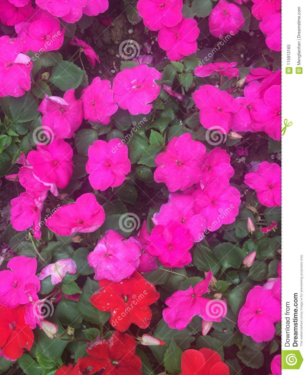 Garden balsam impatiens balsamina l stock image image of girls annual flowers of impatiens and impatiens belong to six parts roots stems leaves flowers fruits and seeds it is also known as goldilocks because its izmirmasajfo
