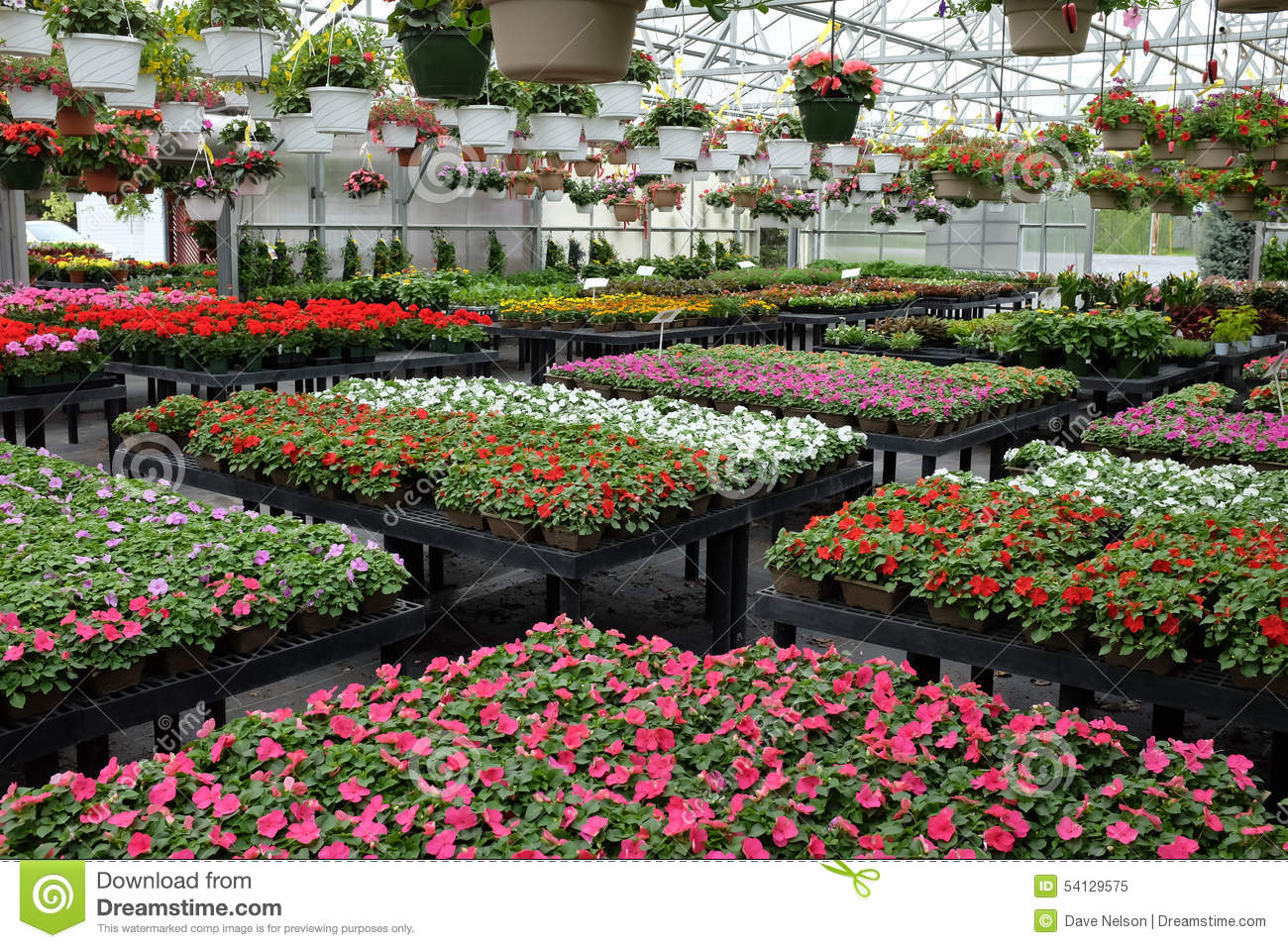 Annual flowers for sale in greenhouse stock image image of annual annual flowers for sale in greenhouse izmirmasajfo Image collections