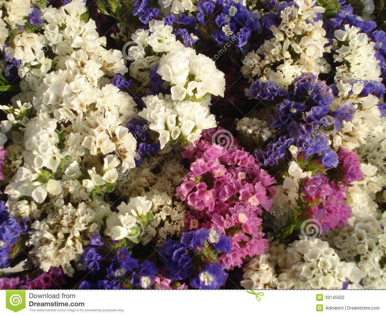 Annual statice limonium stock photo image of backgrounds 33145922 the annual statice limonium is a hardy flowering plant suitable for gardens containers groundcover but also used in dried flowers arrangements and izmirmasajfo
