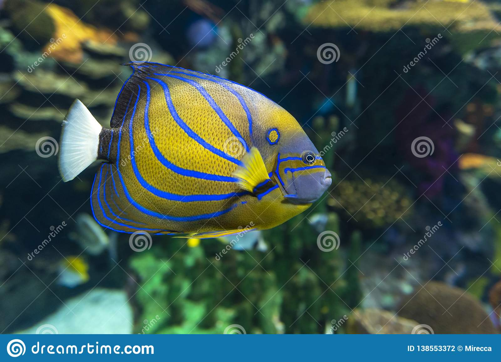 Annularis Angelfish Pomacanthus annularis , coral fish,