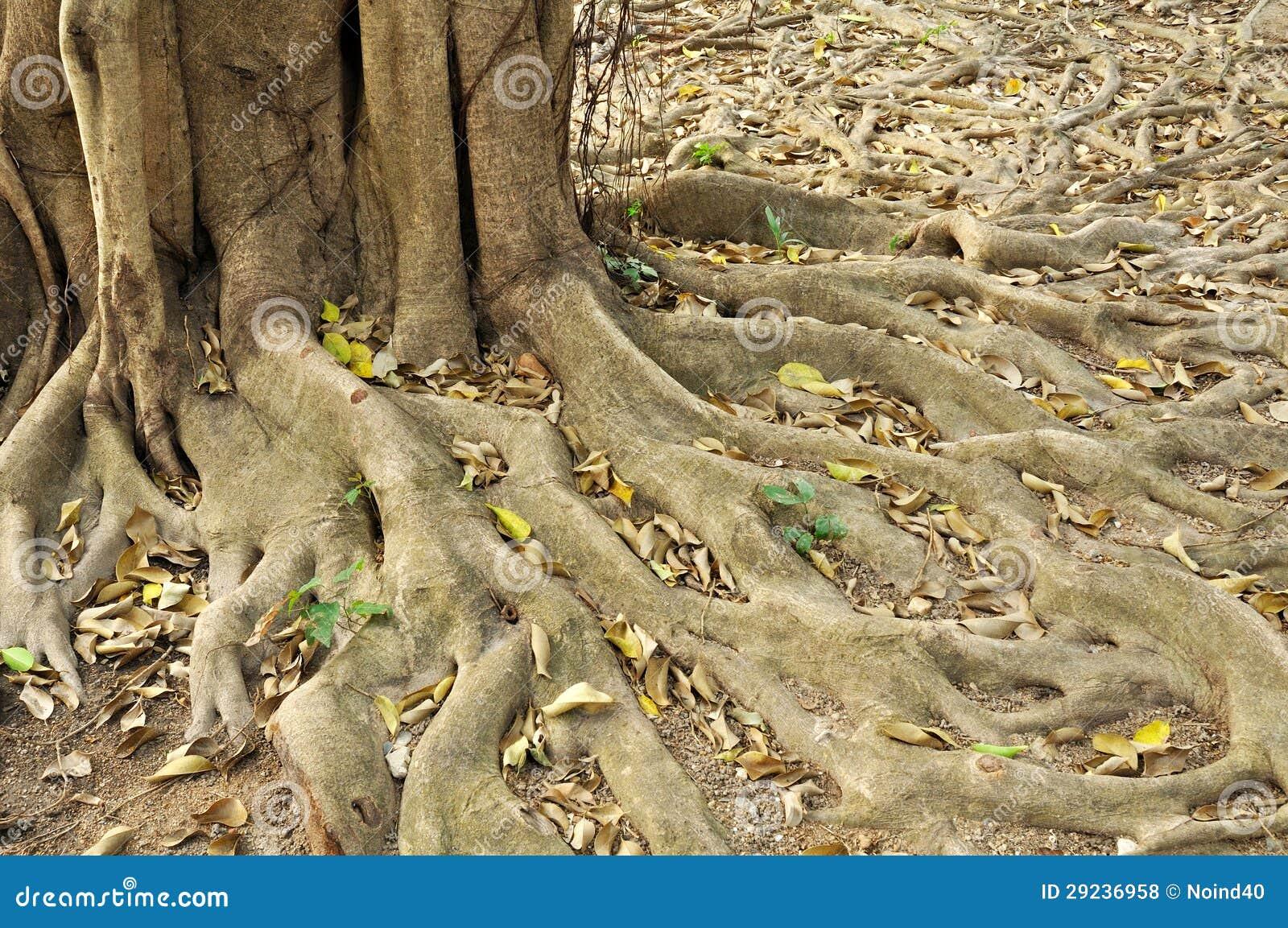 Download Annulata BL Do Ficus Da Raiz. Foto de Stock - Imagem de novo, terra: 29236958