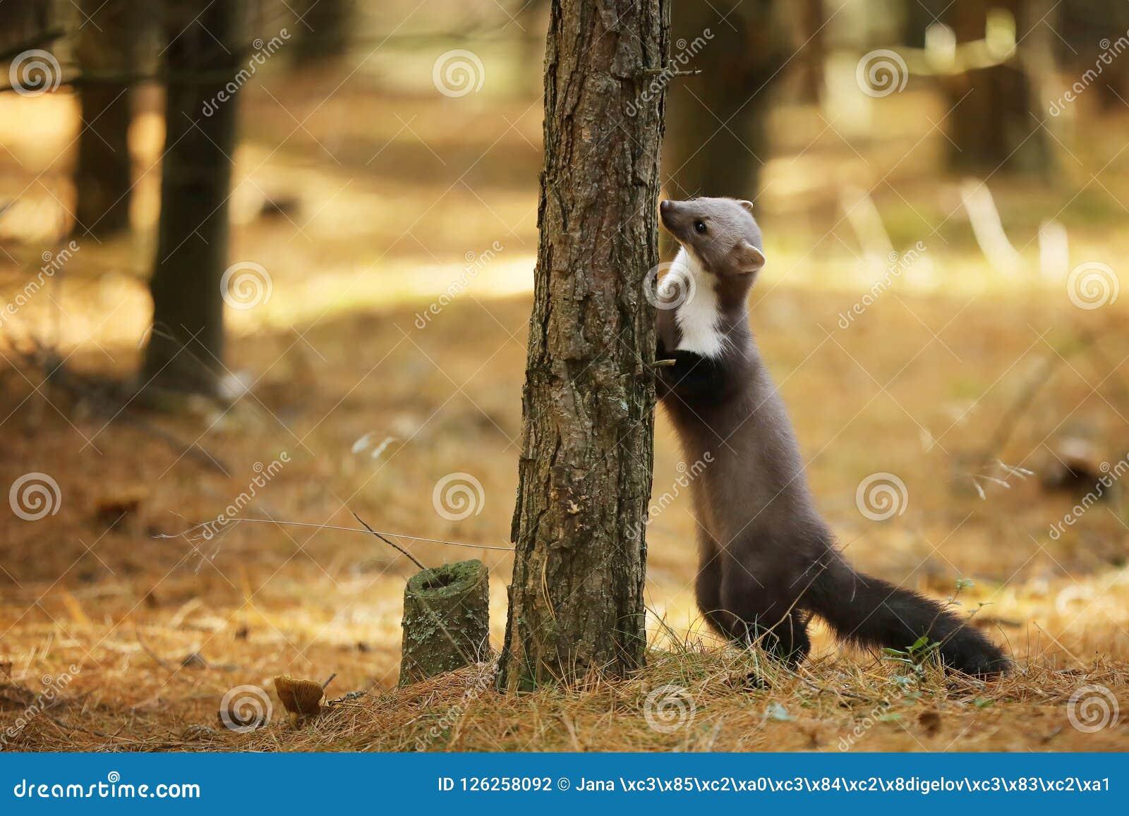 Annusata sul tronco di albero - foina della martora di pietra di martes
