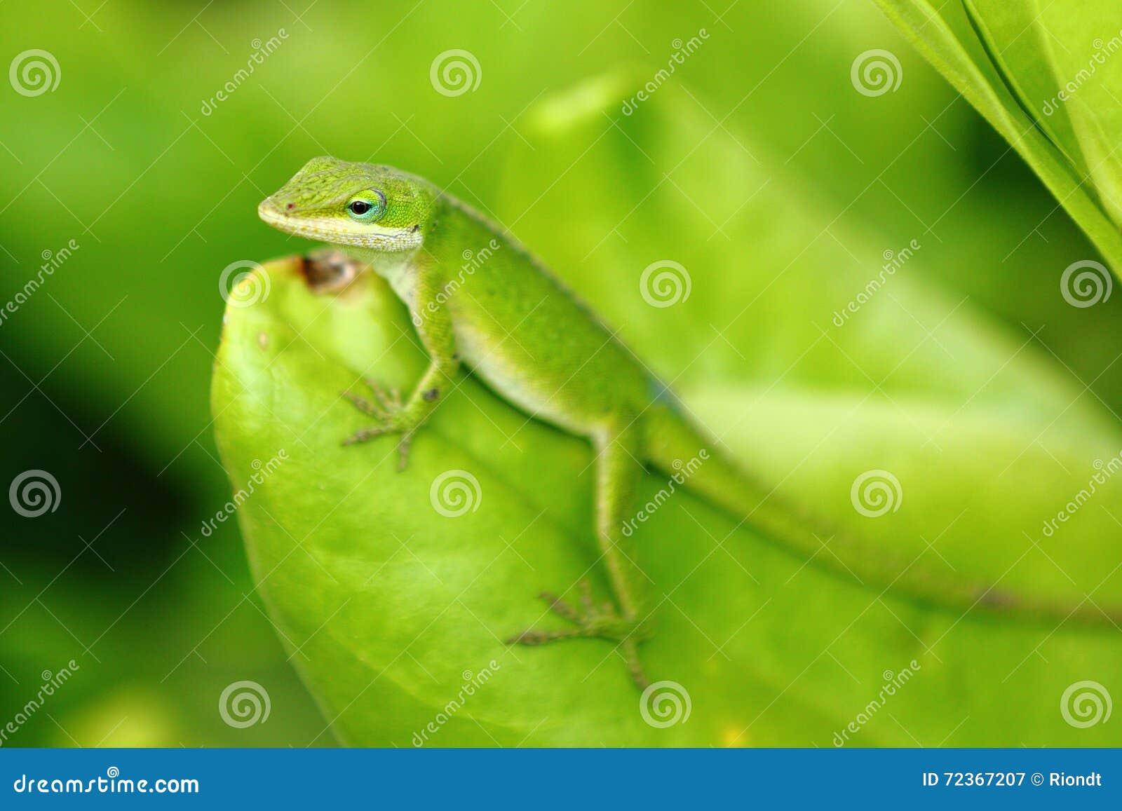 Anole卡罗来纳州蜥蜴