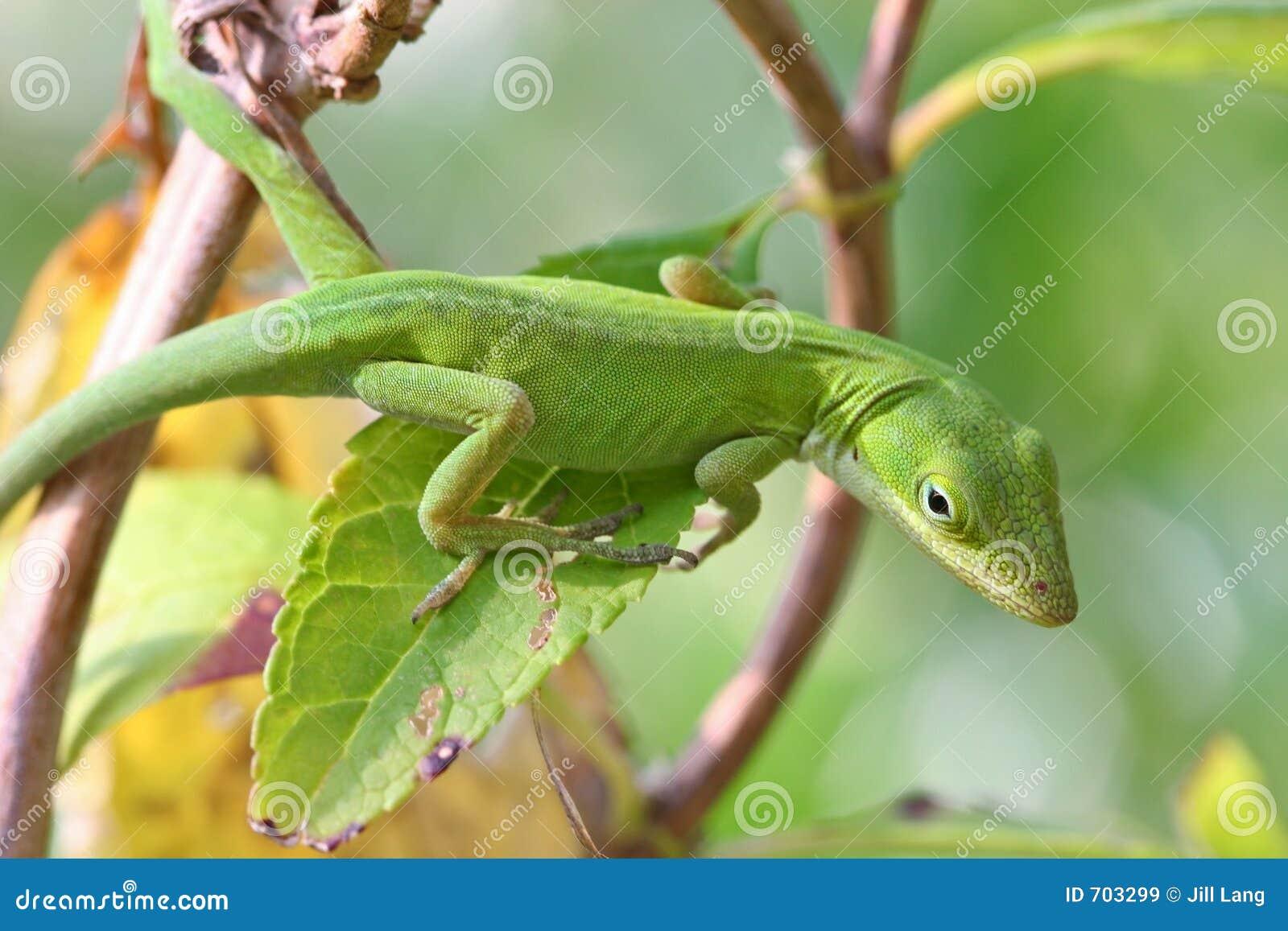 Anole绿色