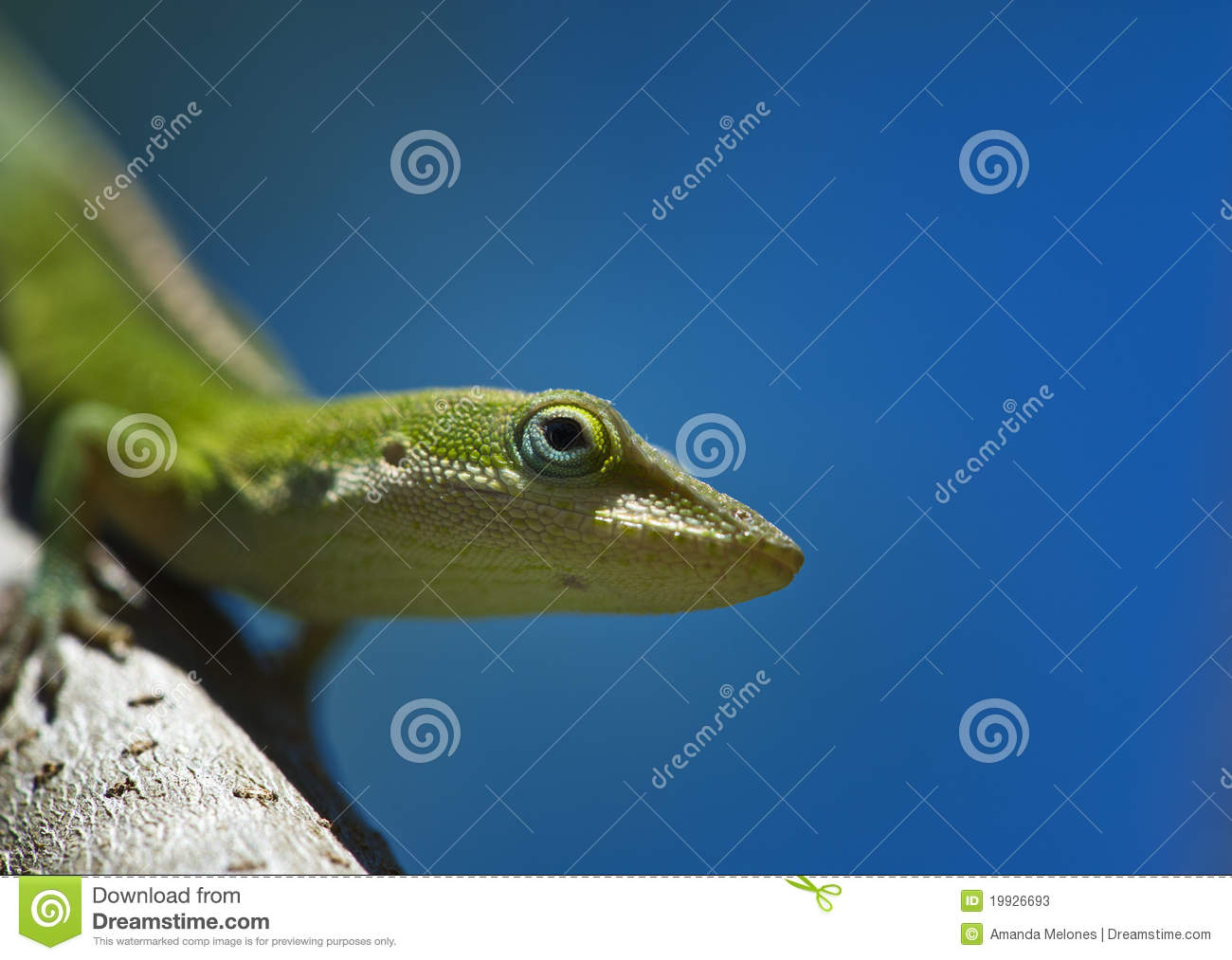 Anole on a branch