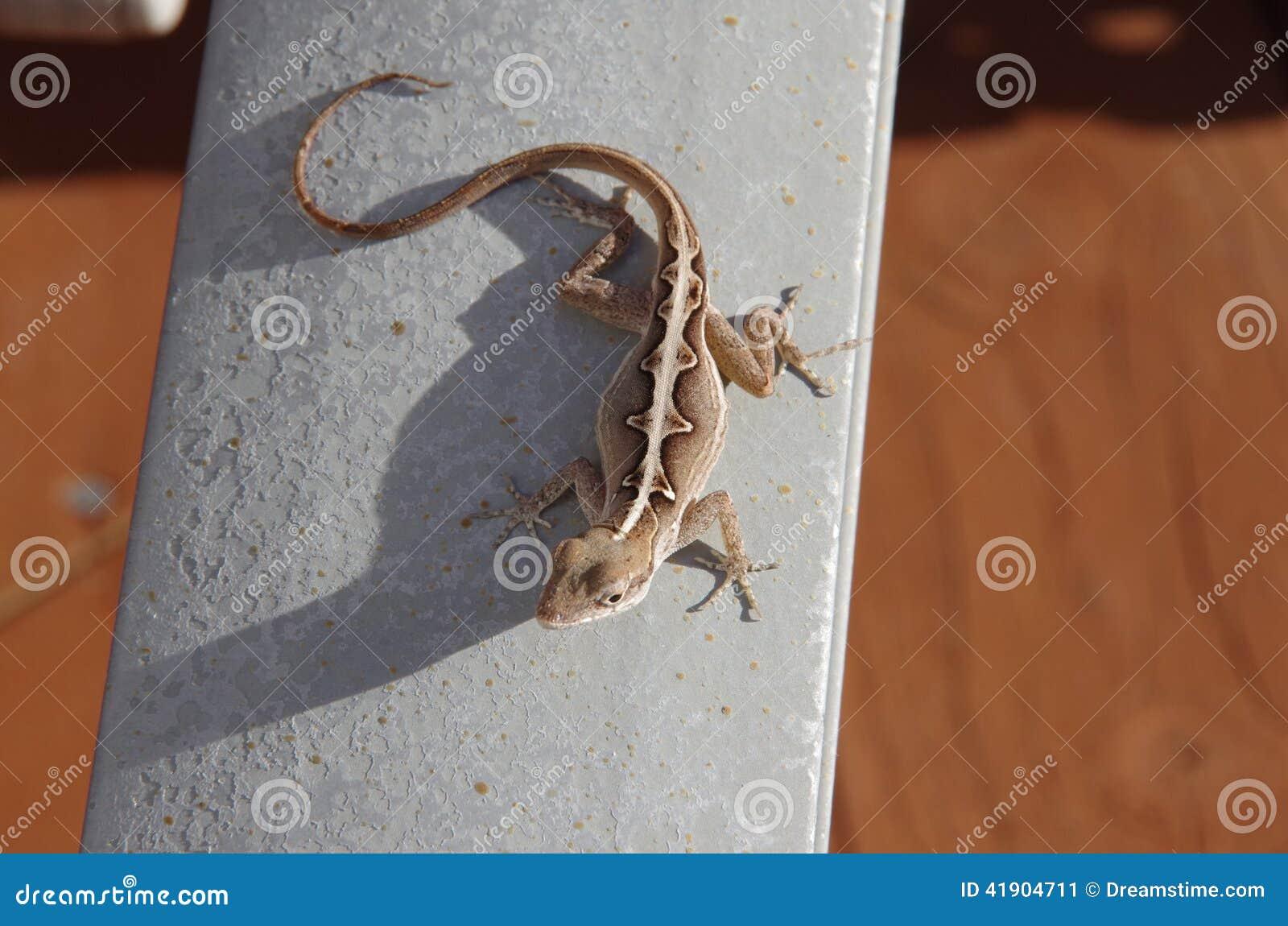 Anole, lagarto, salamandra