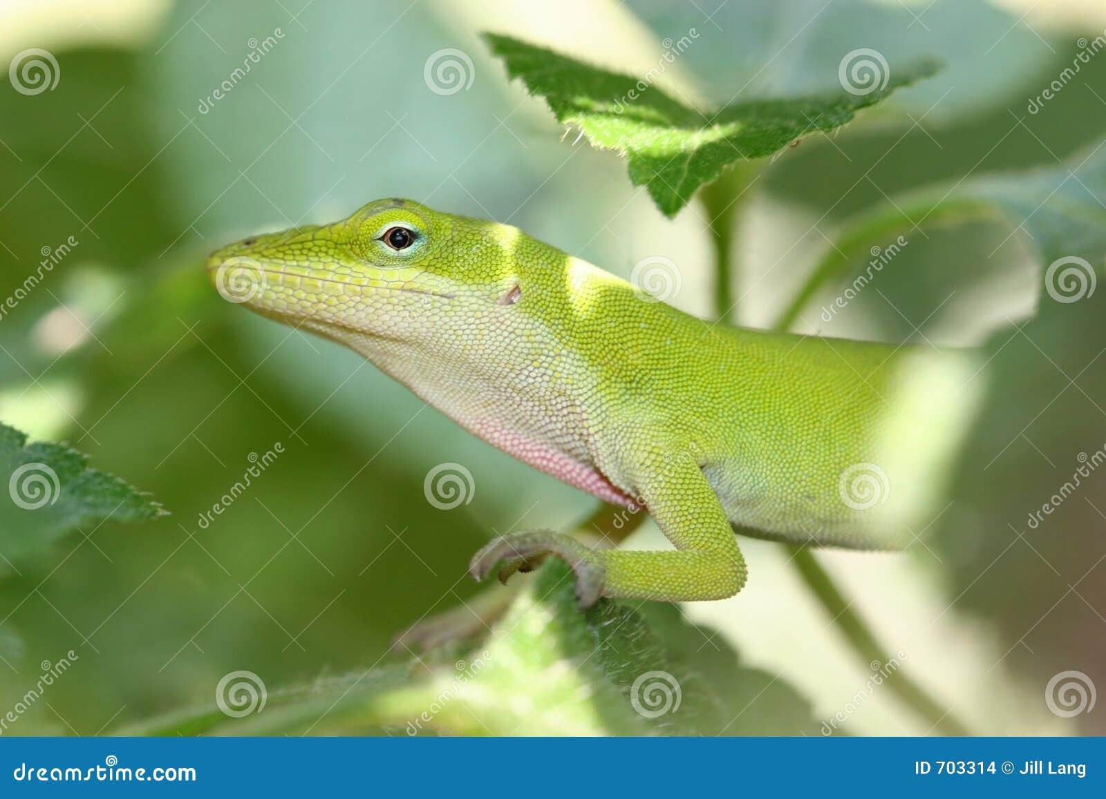 Anole verde