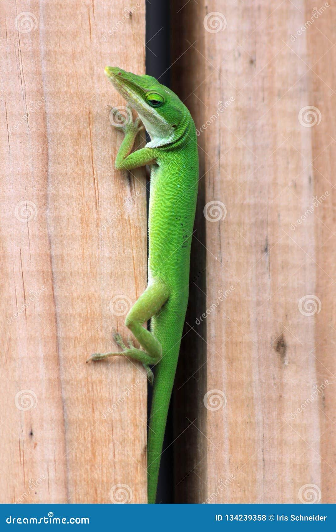 Anole verde que intenta ocultar entre una cerca de madera