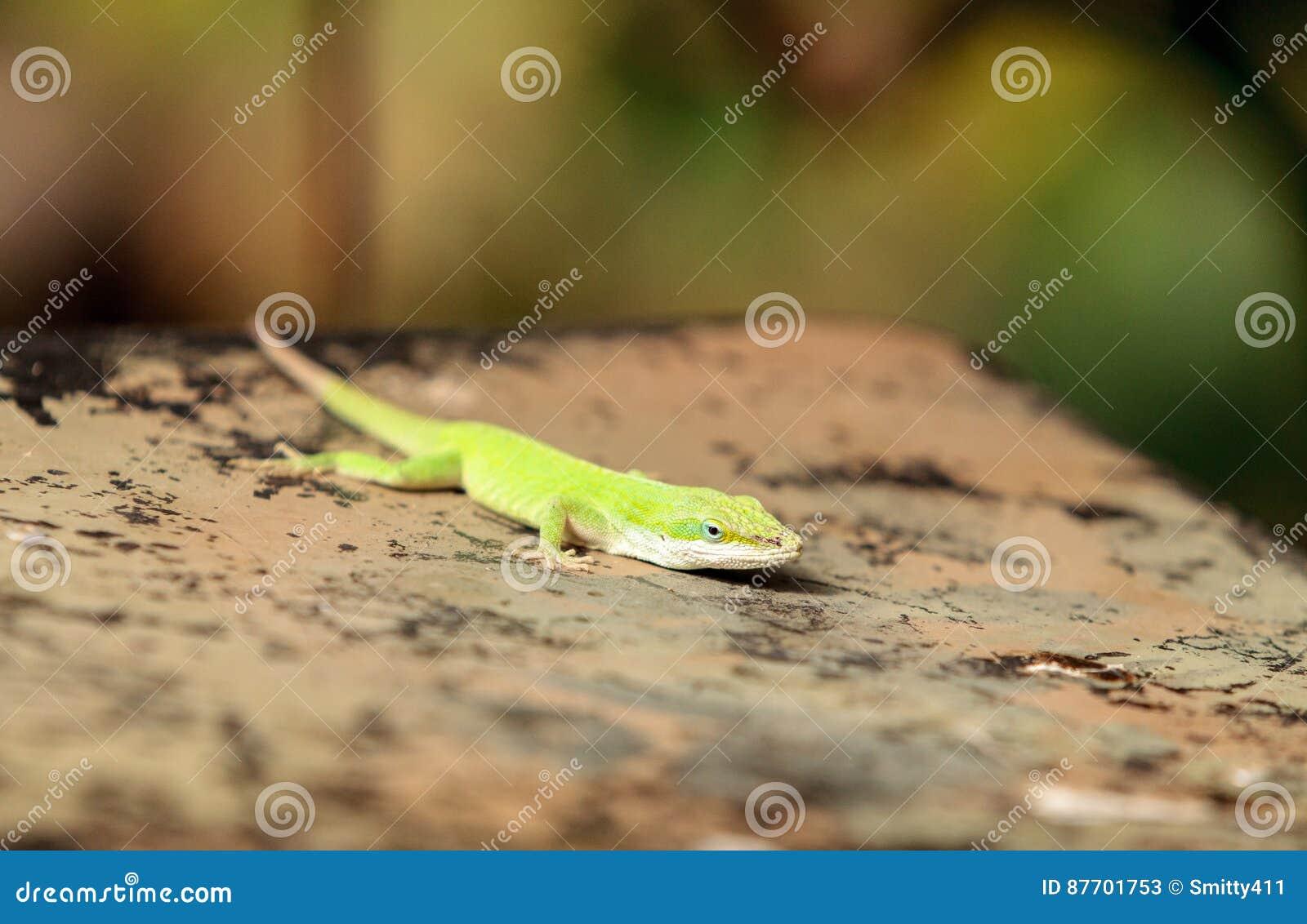 Anole vert scientifiquement connu sous le nom d Anolis Carolinensis